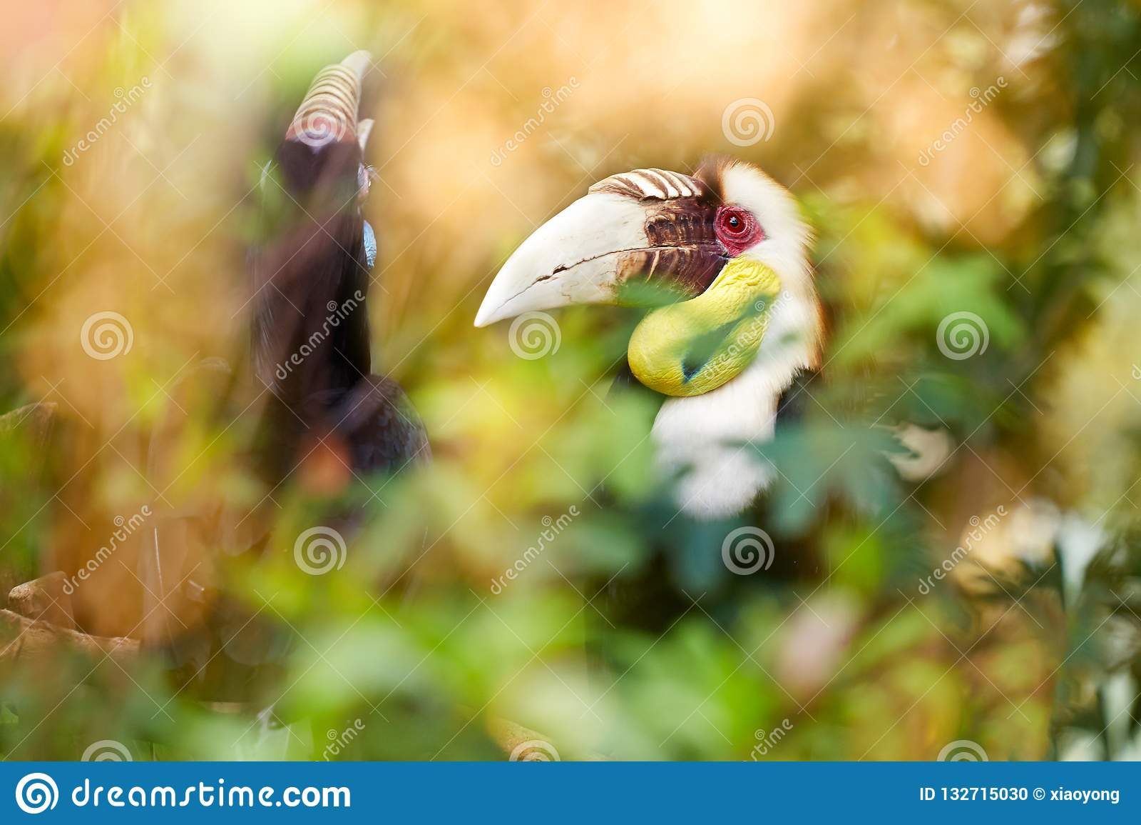 Большая птица-носорог в дождевом лесе