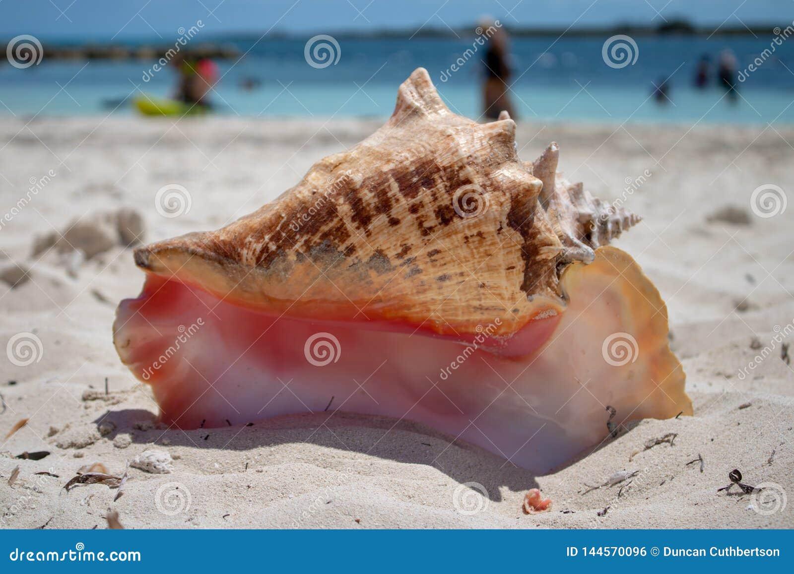 Большая раковина на тропическом пляже