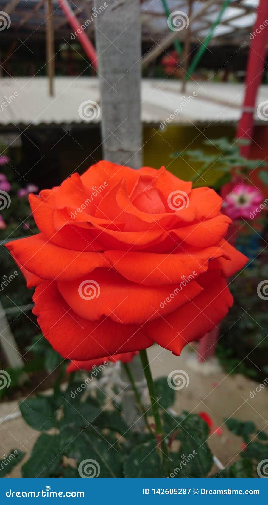 Большая свежо красная роза
