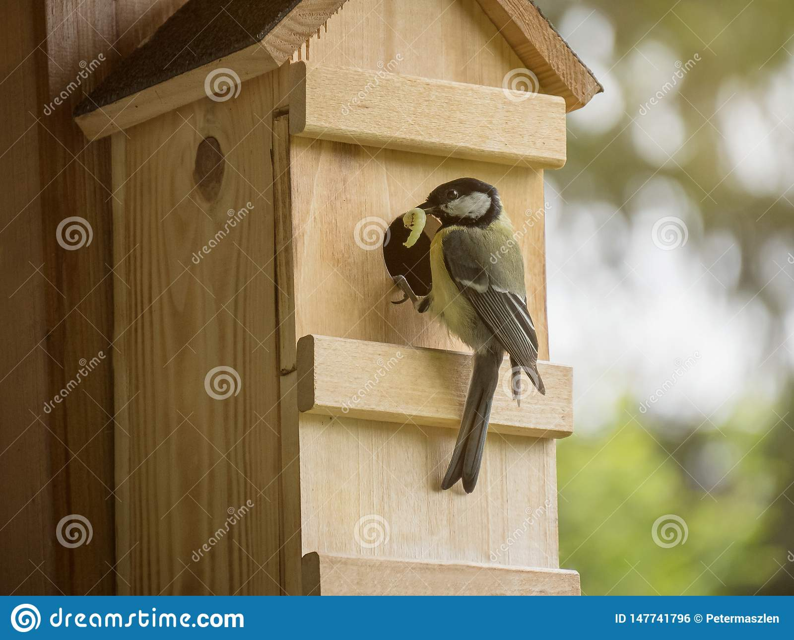 Большая синица с гусеницей в малолетке клюва питаясь в коробке гнезда