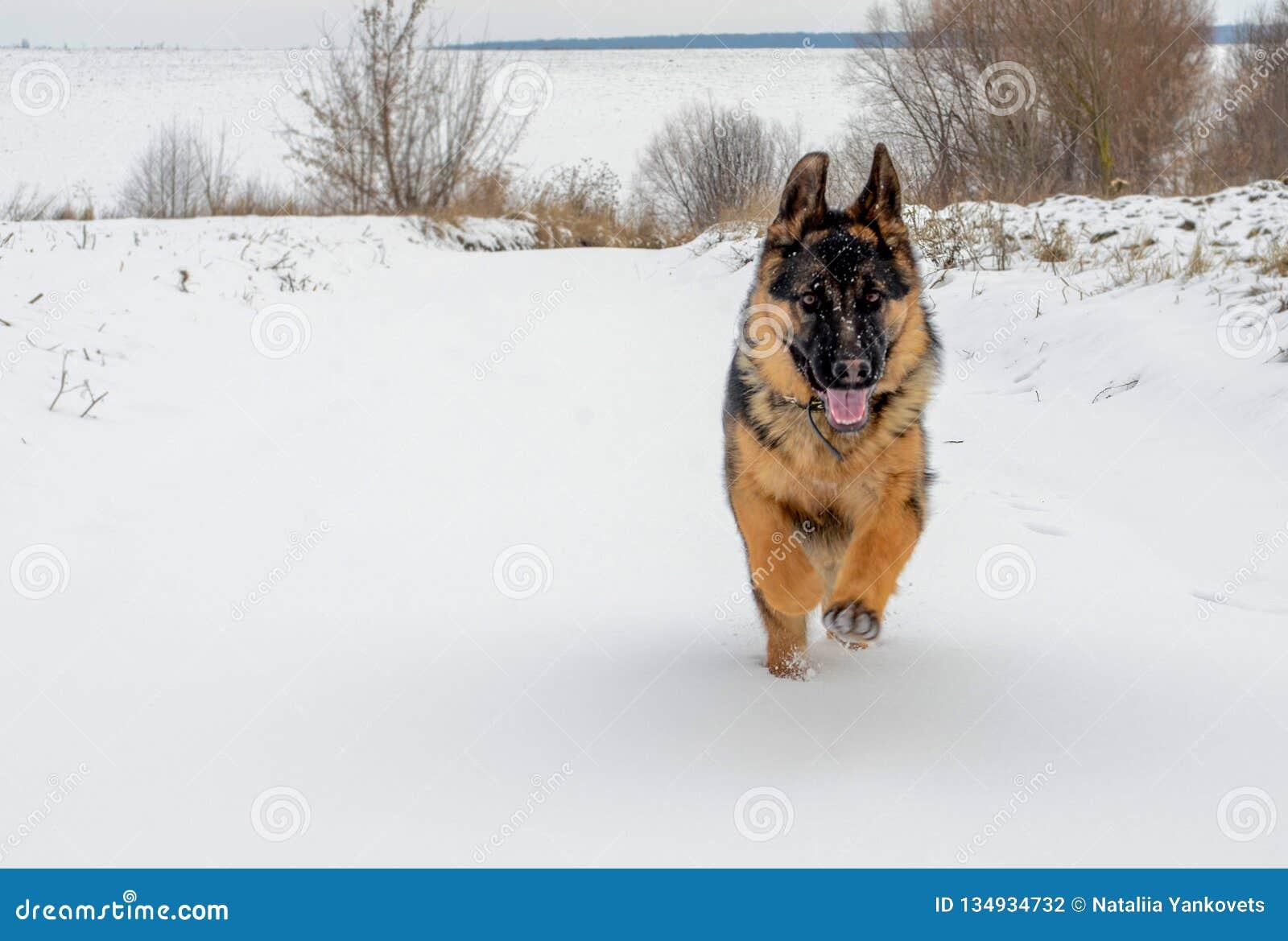 Большая собака быстро бежит на белом снеге