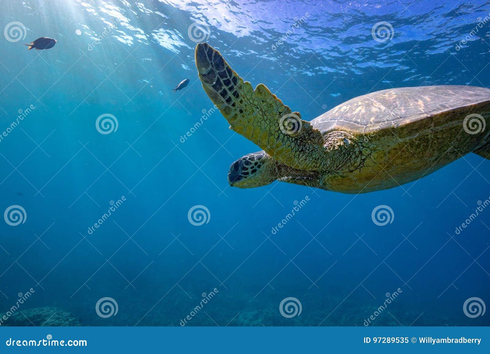 Большая черепаха в съемке кораллового рифа подводной