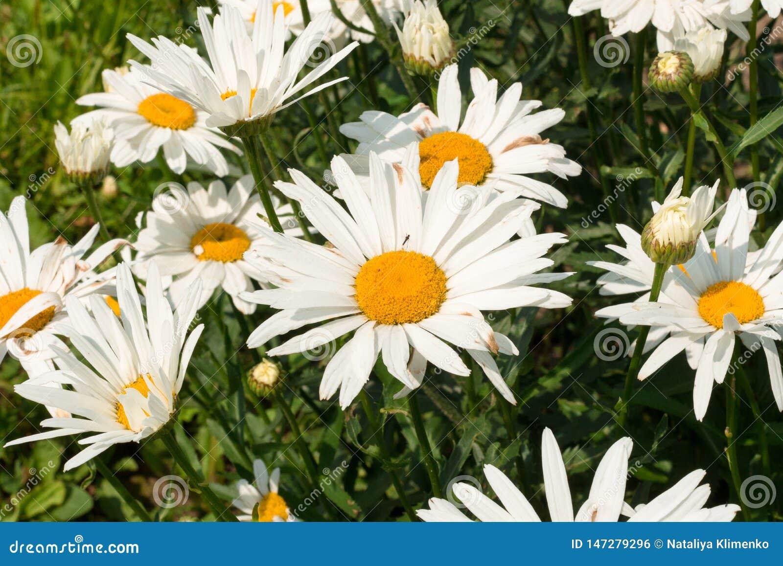 Большие белые маргаритки под ярким солнцем лета