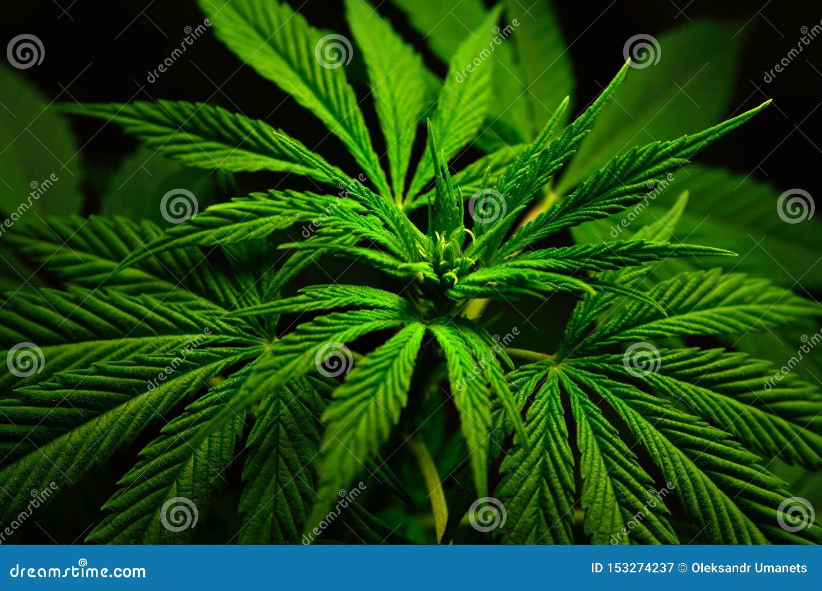 Конопля картинки большие купить семена марихуаны конопли наложенным платежом
