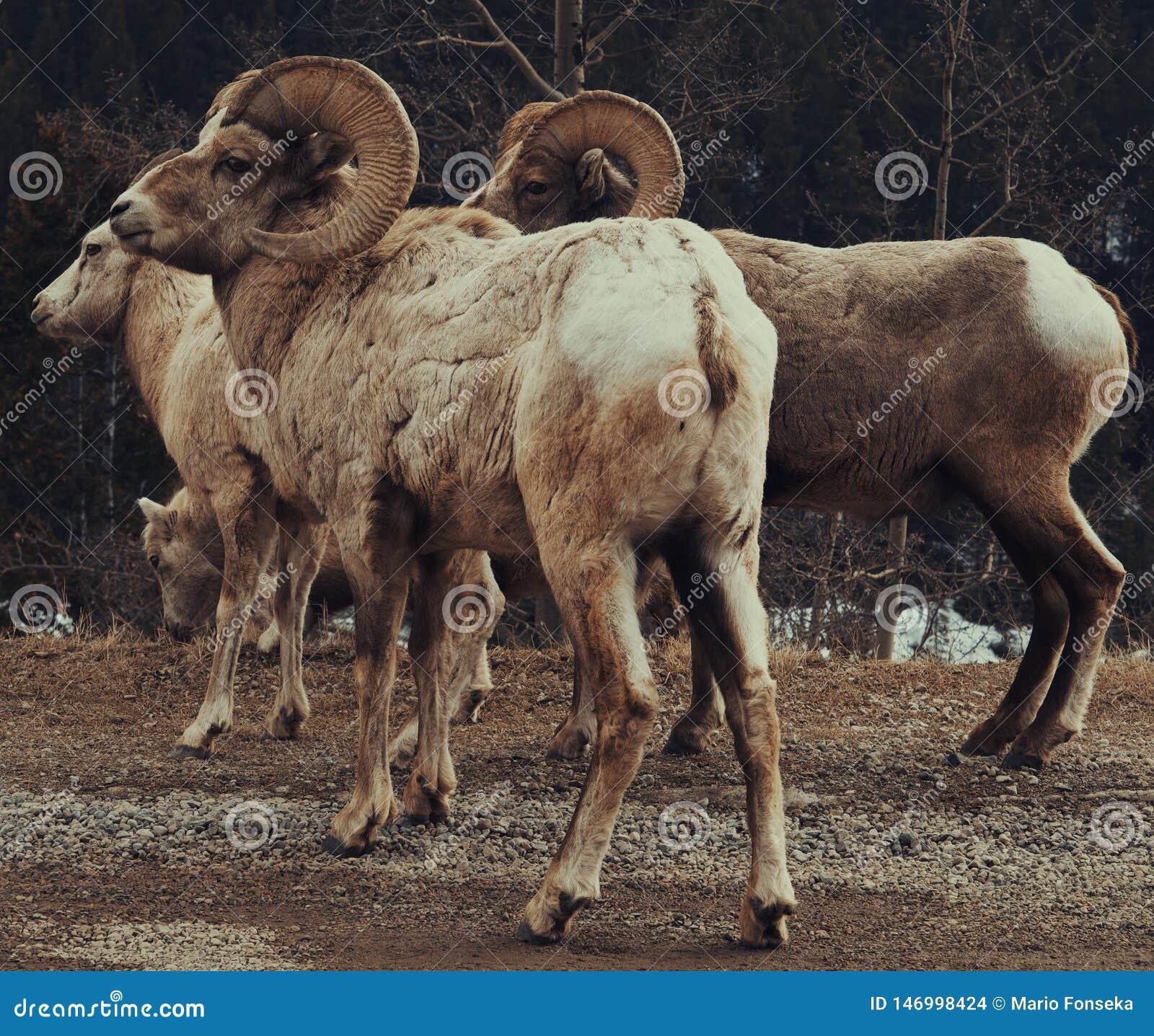 Большие овцы рожка