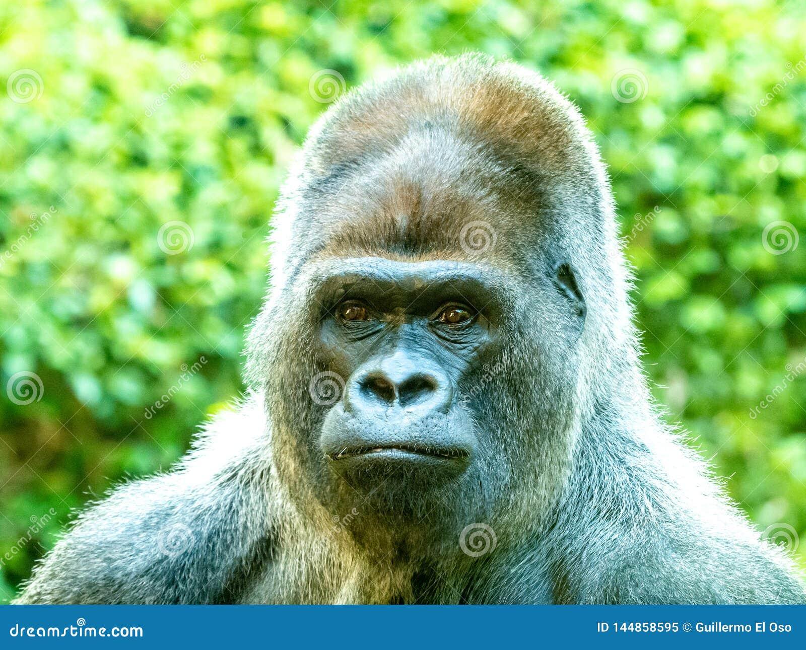 Больший конец вверх от стороны гориллы