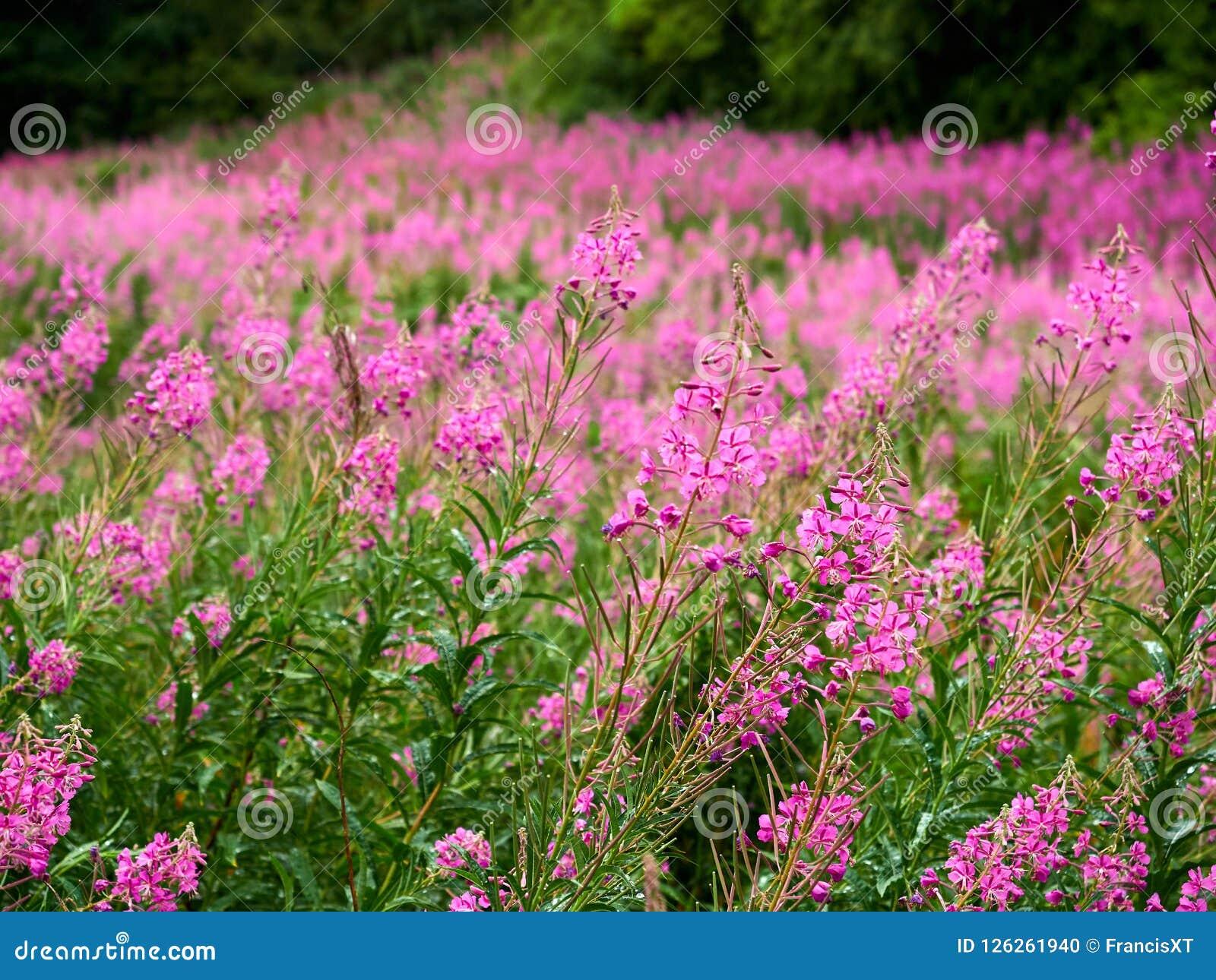Большое поле живого и зацветая rosebay willowherb