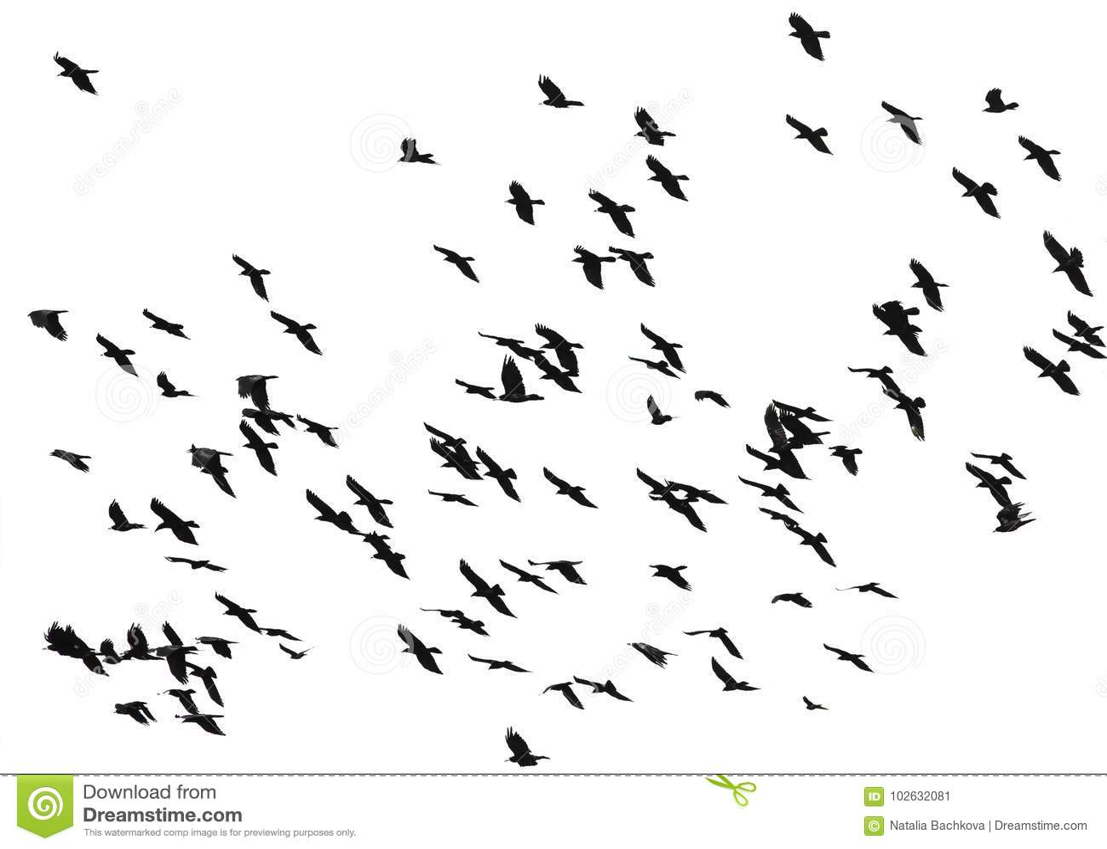Большое стадо черных птиц кукарекает летание на изолированном белом bac