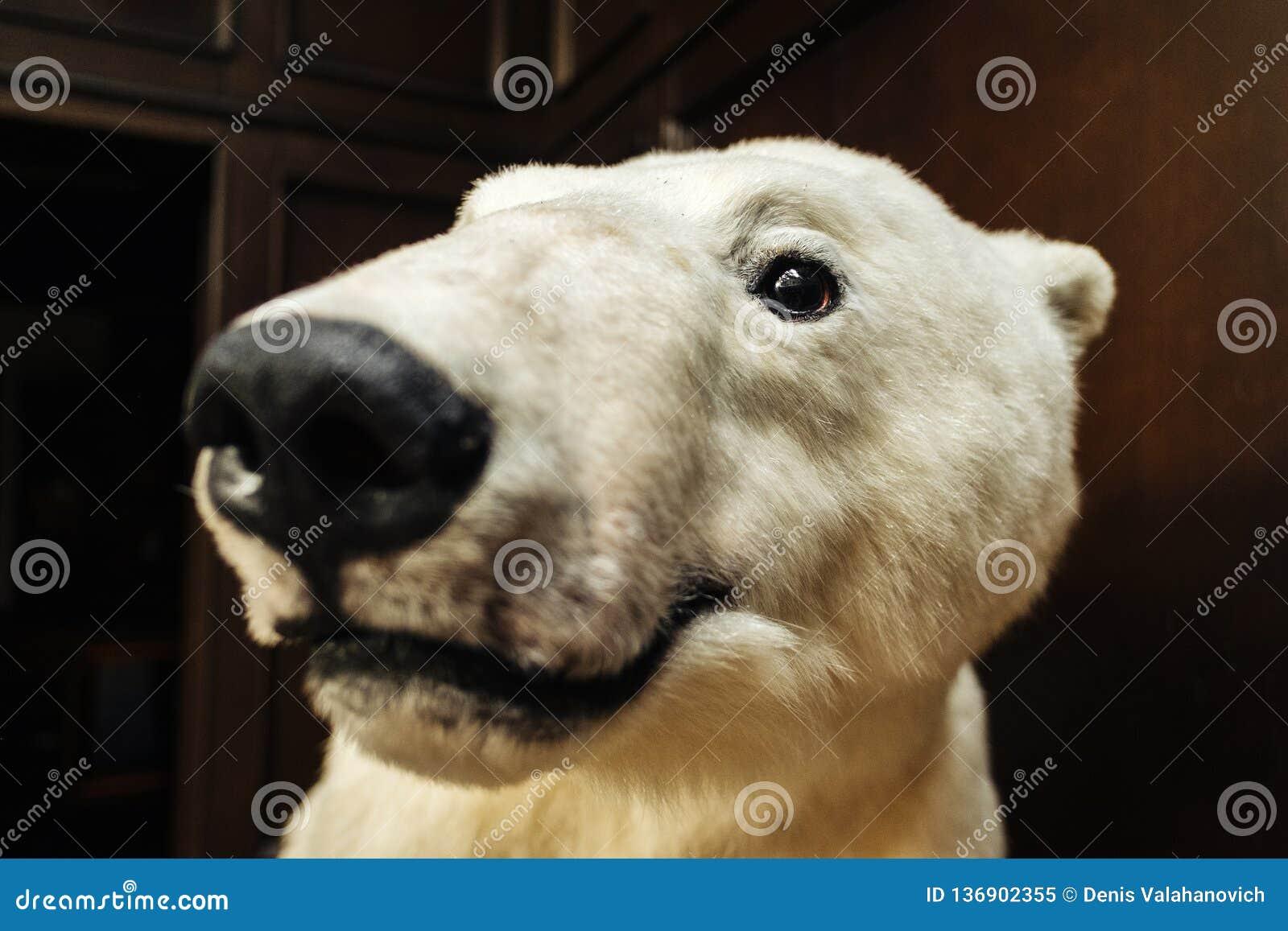 Большой белый медведь смотрит камеру