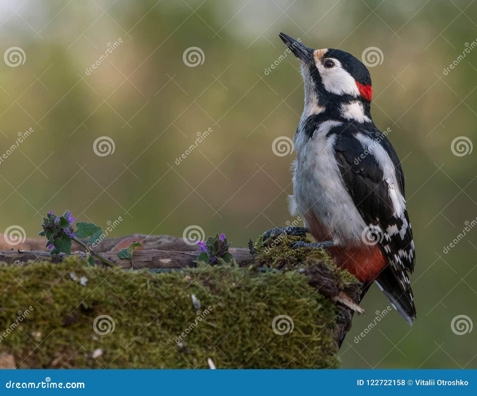 Большой запятнанный woodpecker на моча месте