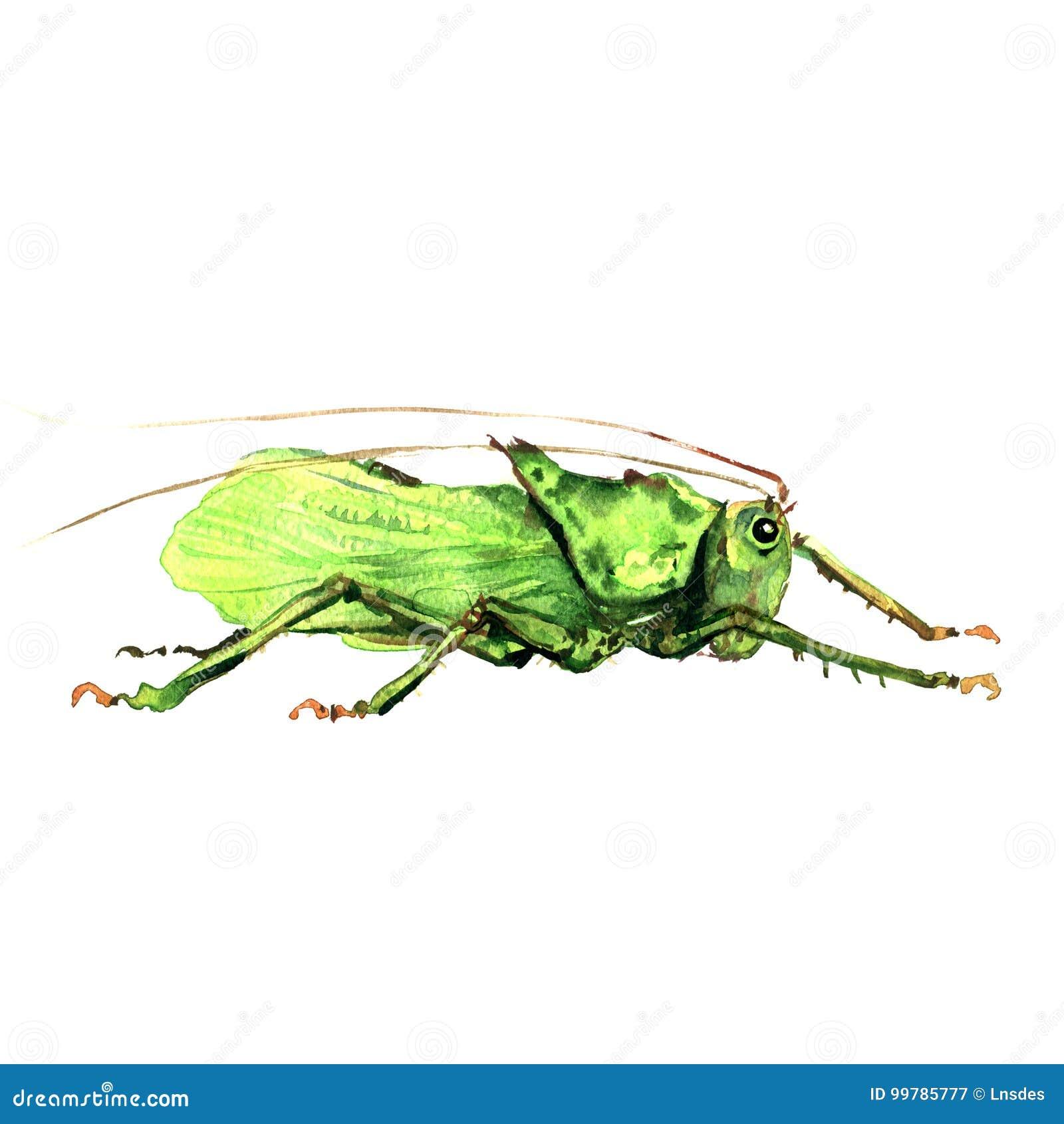 Большой зеленый изолированный кузнечик, иллюстрация акварели на белизне