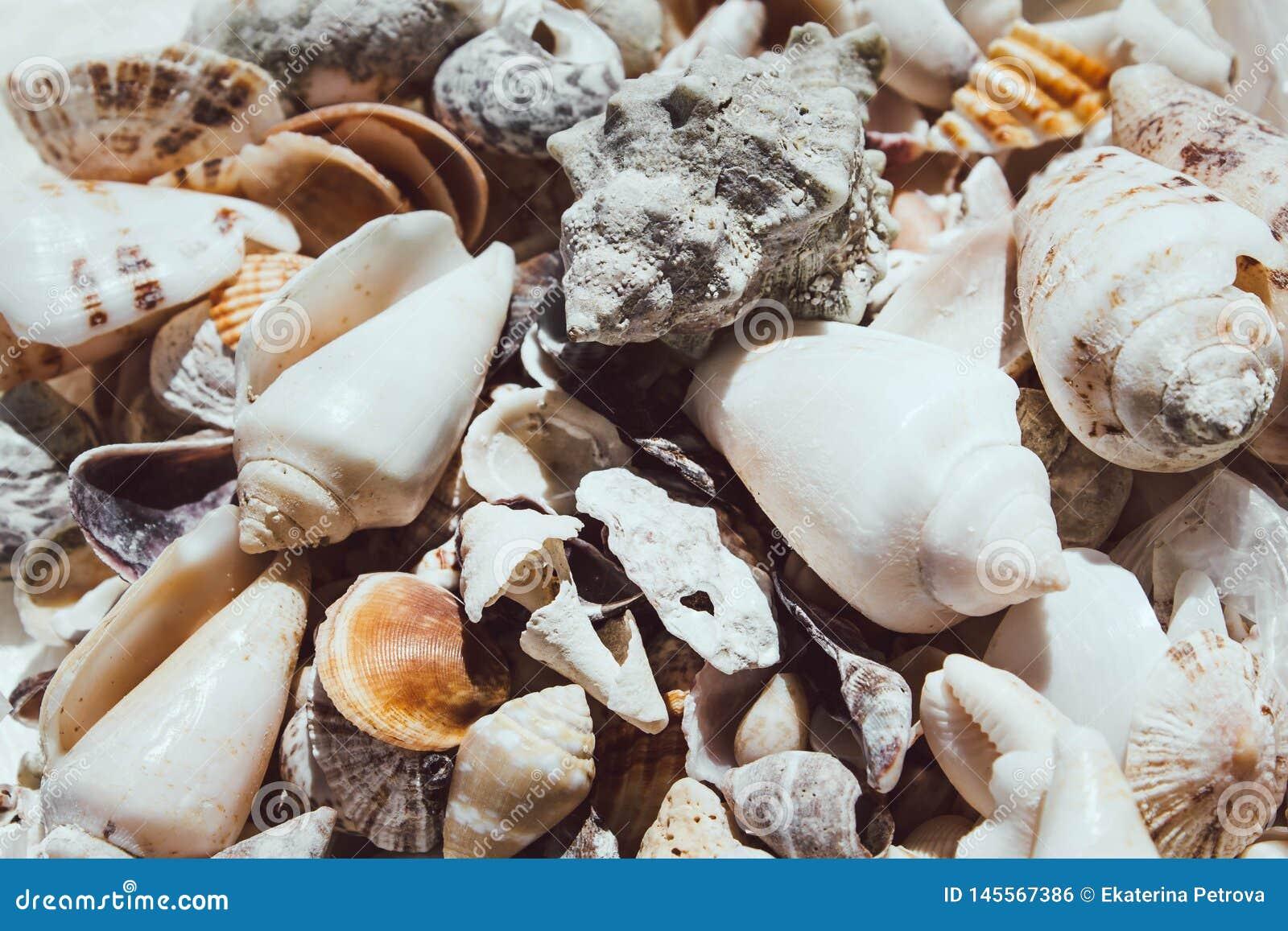 Большой конец-вверх seashells Белые раковины разбросали Солнечный свет падает на белые красивые раковины