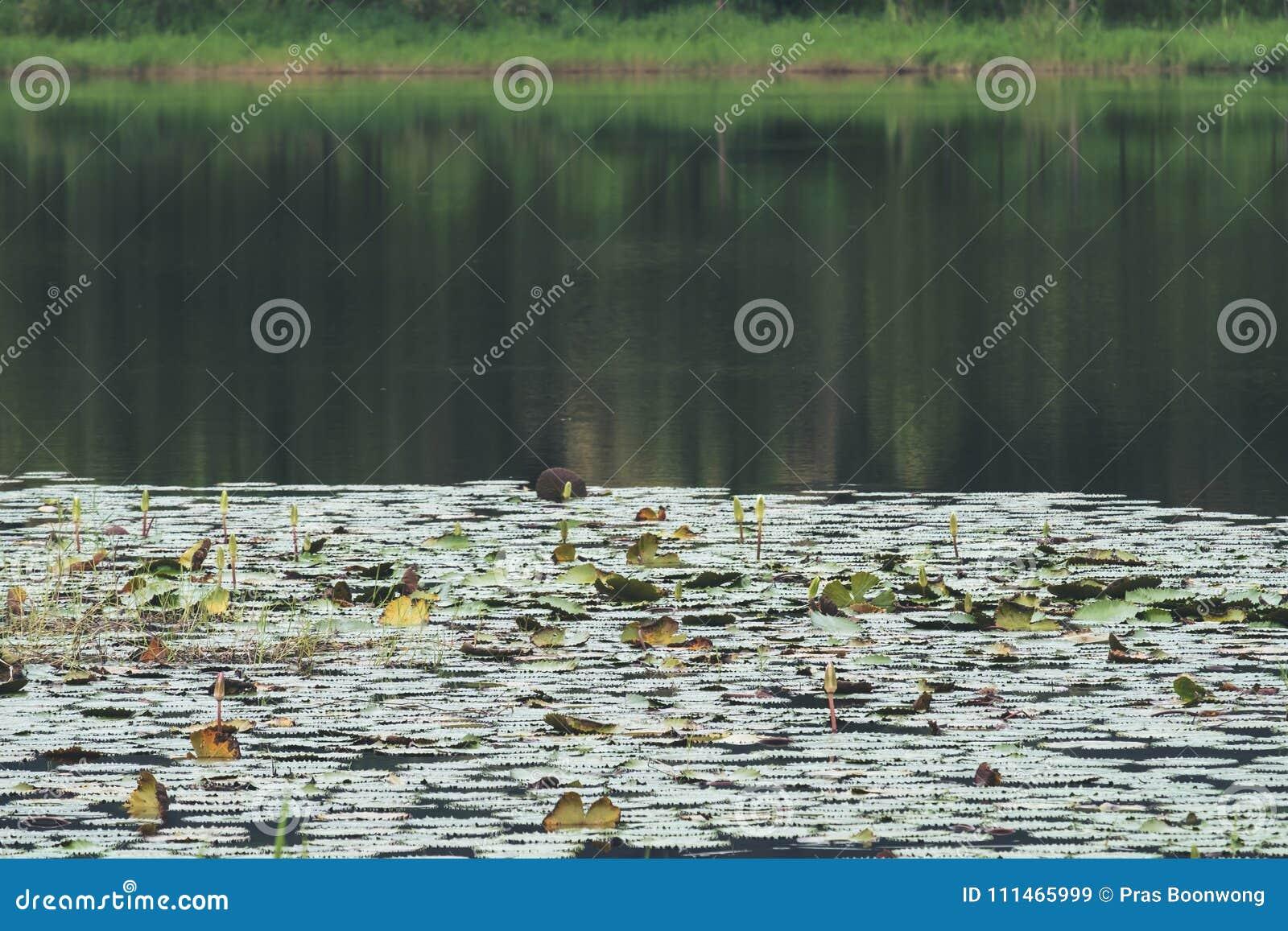 Большой пруд с отражением ` s деревьев и цветками лотоса