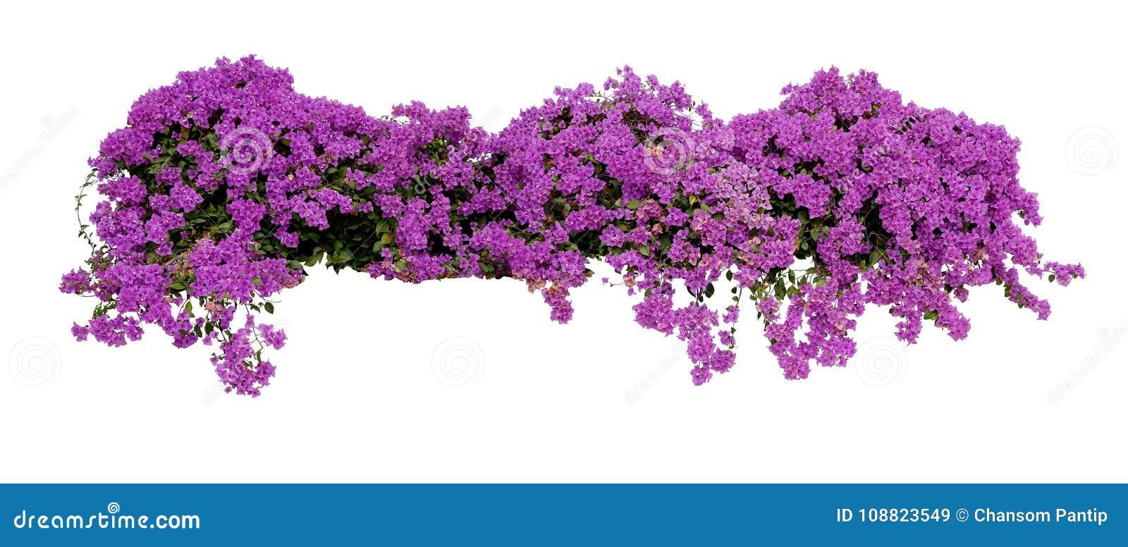 Большой цветя распространяя кустарник фиолетовой бугинвилии тропический