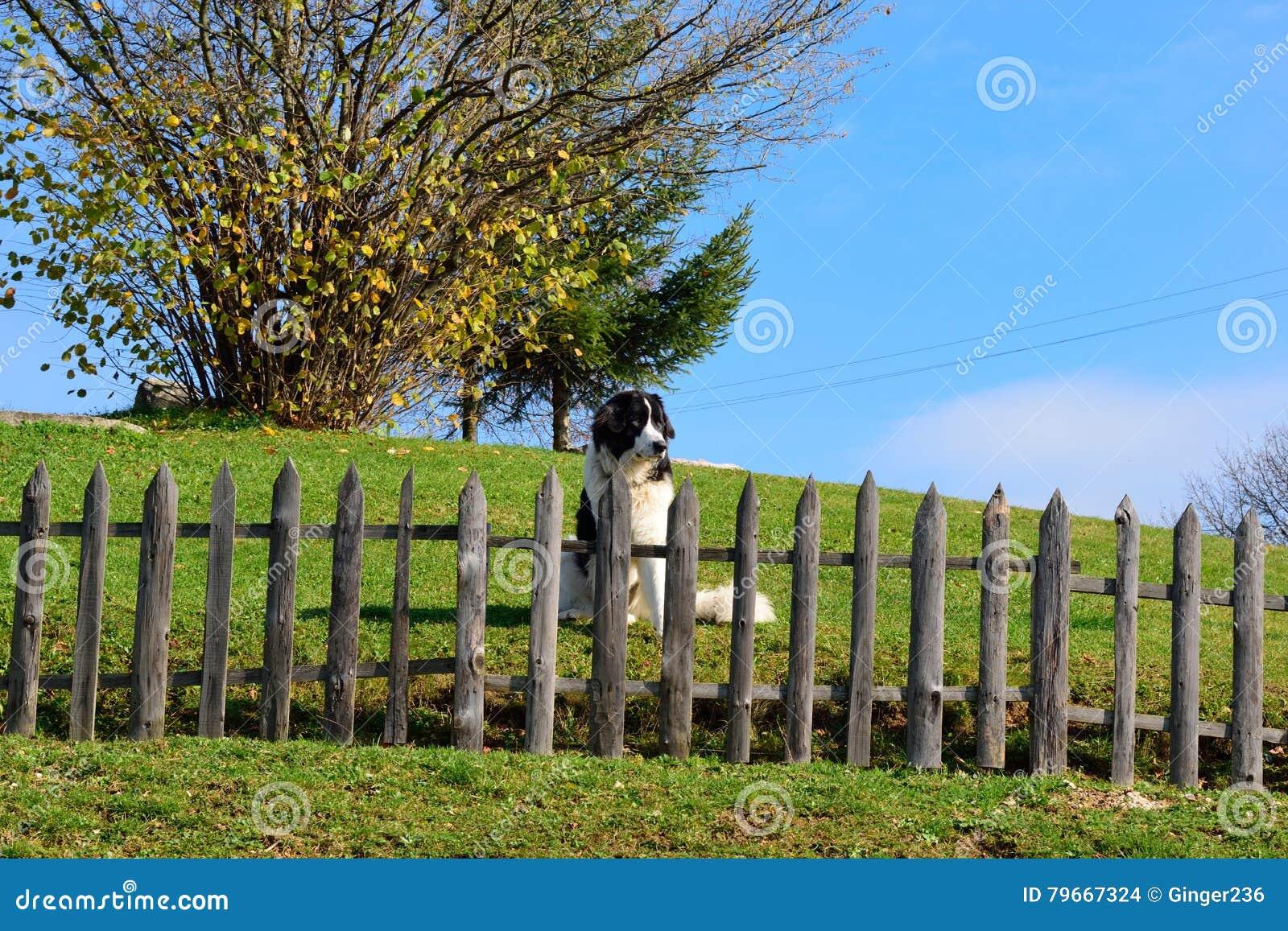 Боснийская собака чабана защищая его двор