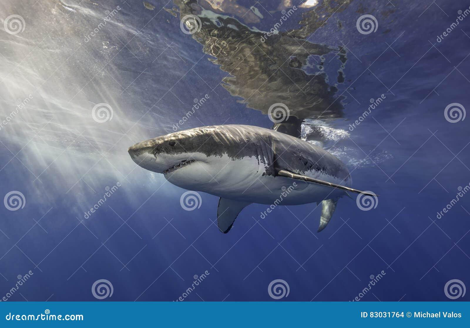 Большая белая акула Мексика