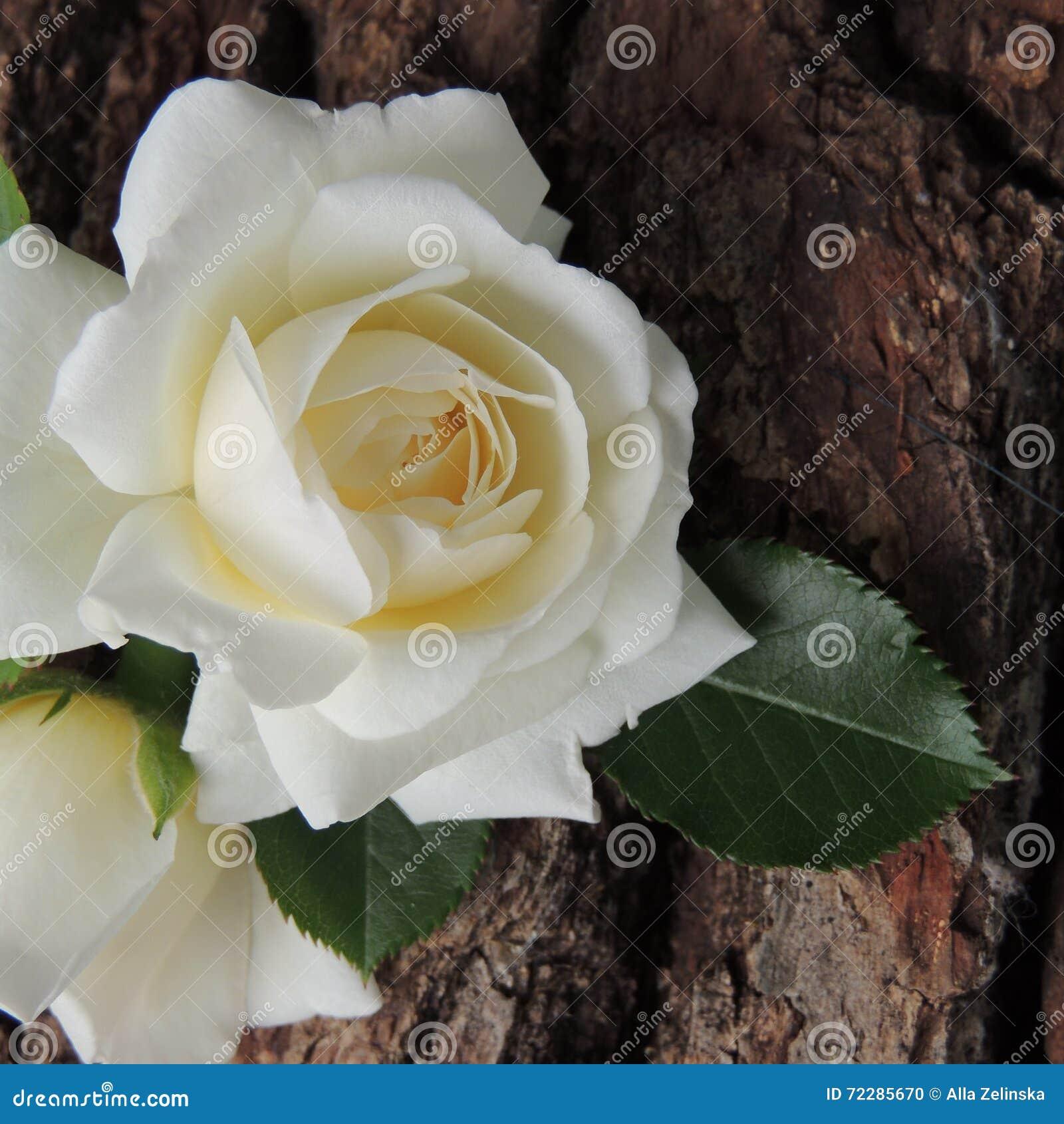 Download Большая белая роза на предпосылке коры дерева Стоковое Фото - изображение насчитывающей green, бело: 72285670