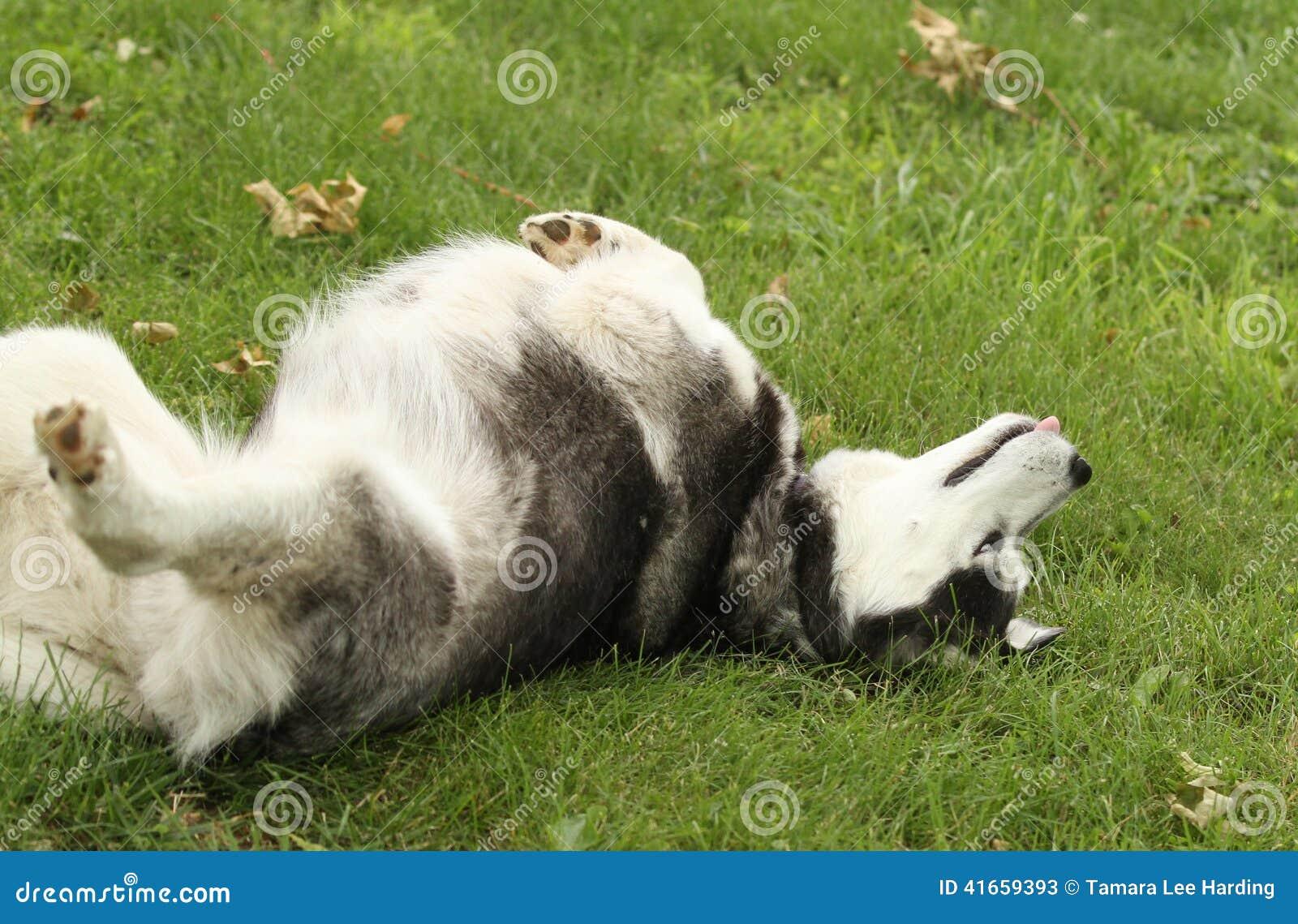 Большая завальцовка сибирской лайки в траве