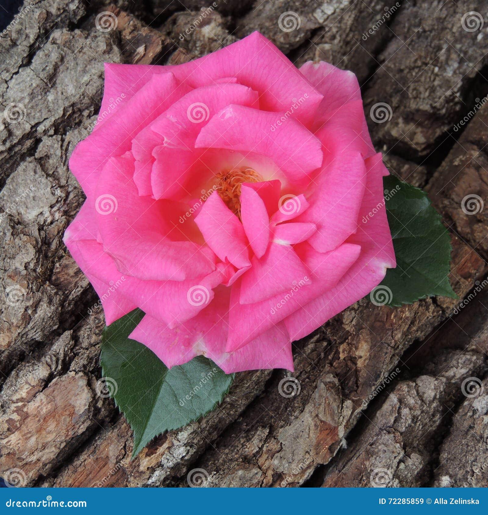 Download Большая красная роза на предпосылке коры дерева Стоковое Изображение - изображение насчитывающей природа, напольно: 72285859