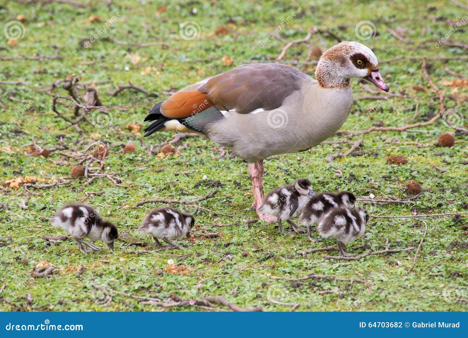 Большая утка и утята младенца в парке