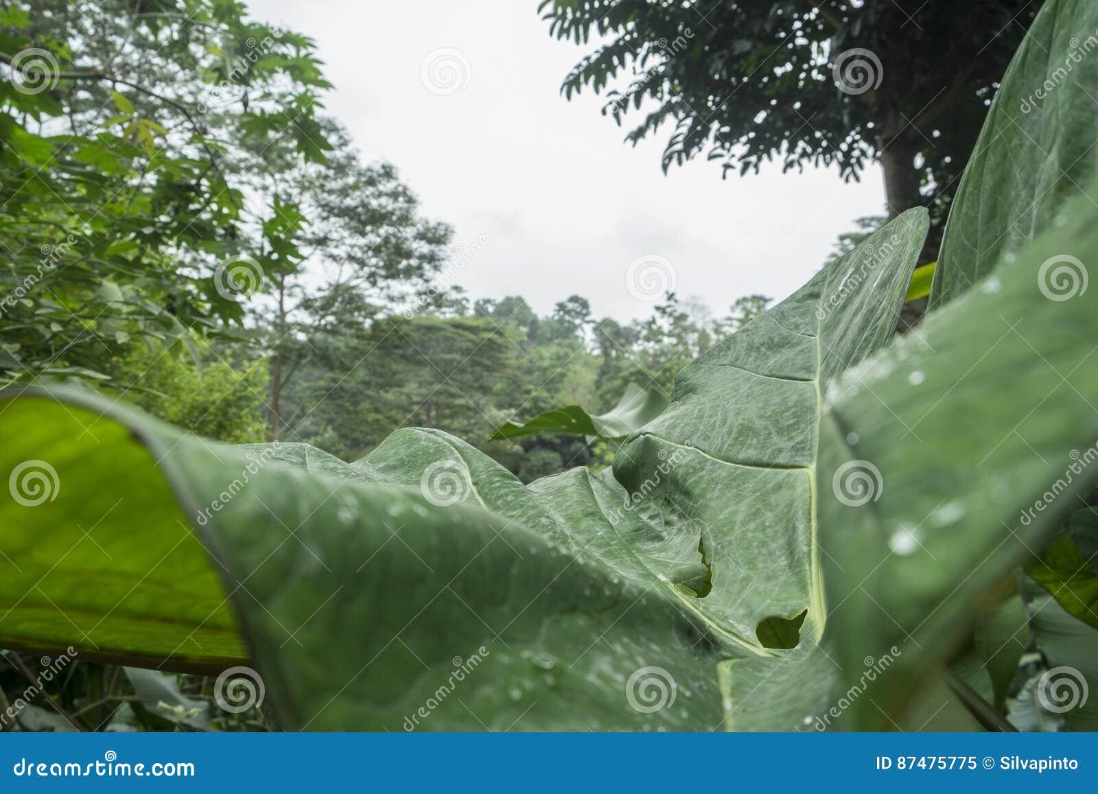 Большие лист в дождевом лесе Sao Tome