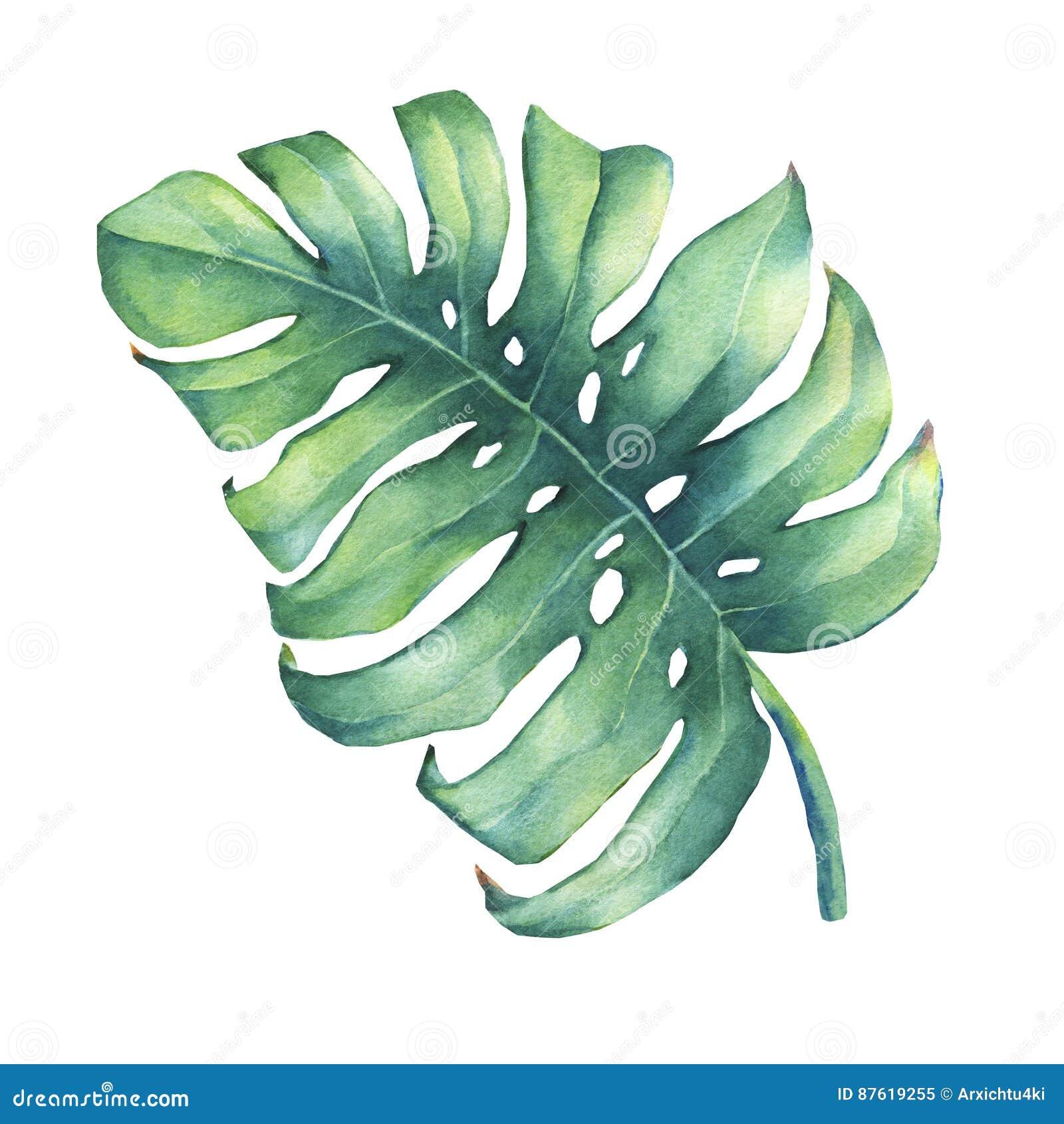 Большие тропические зеленые лист завода Monstera