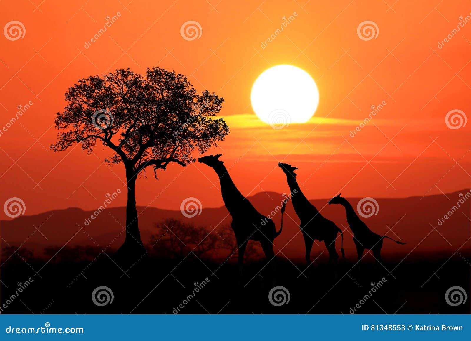 Большие южно-африканские жирафы на заходе солнца в Африке