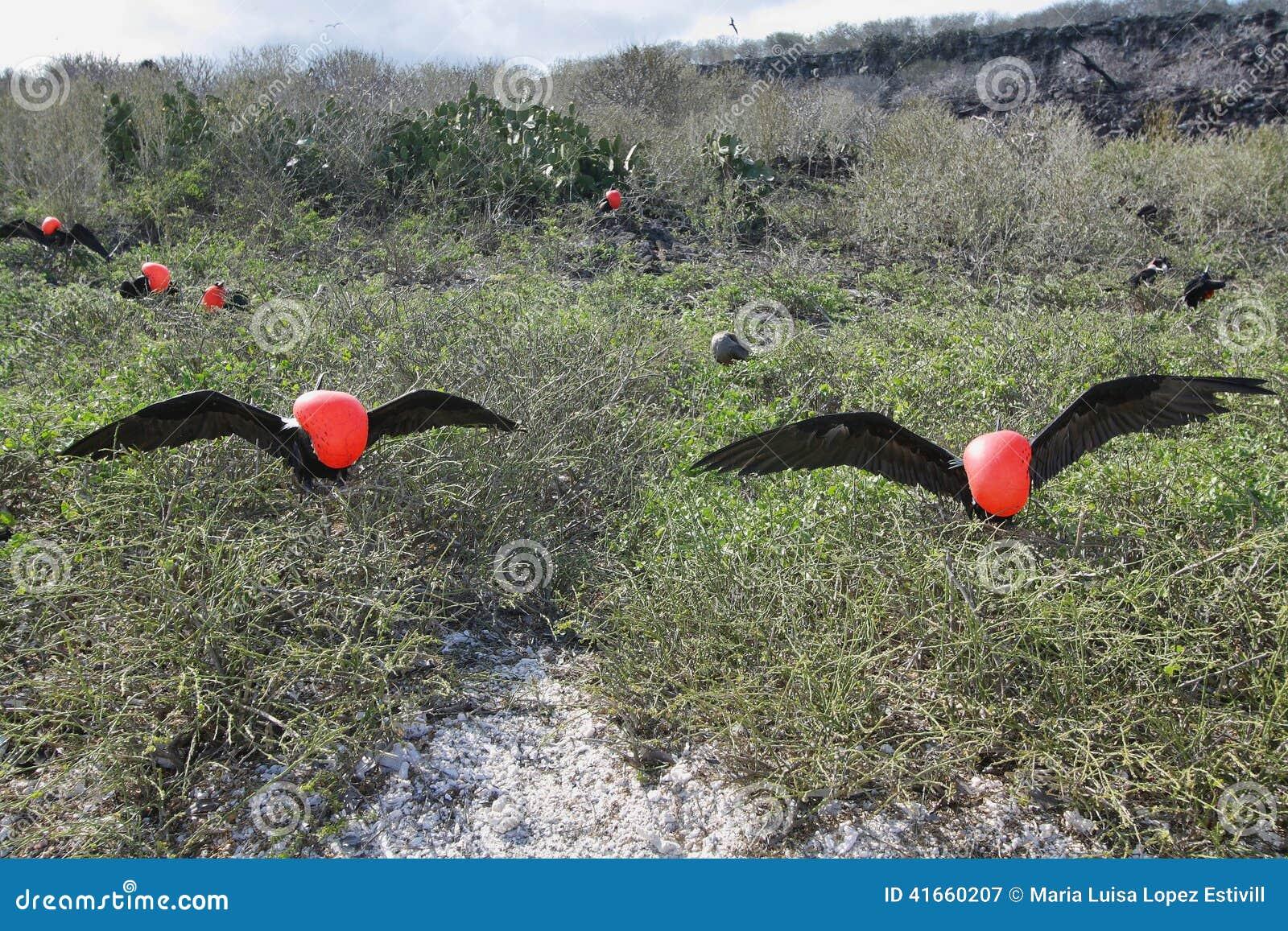 2 больших птицы фрегата