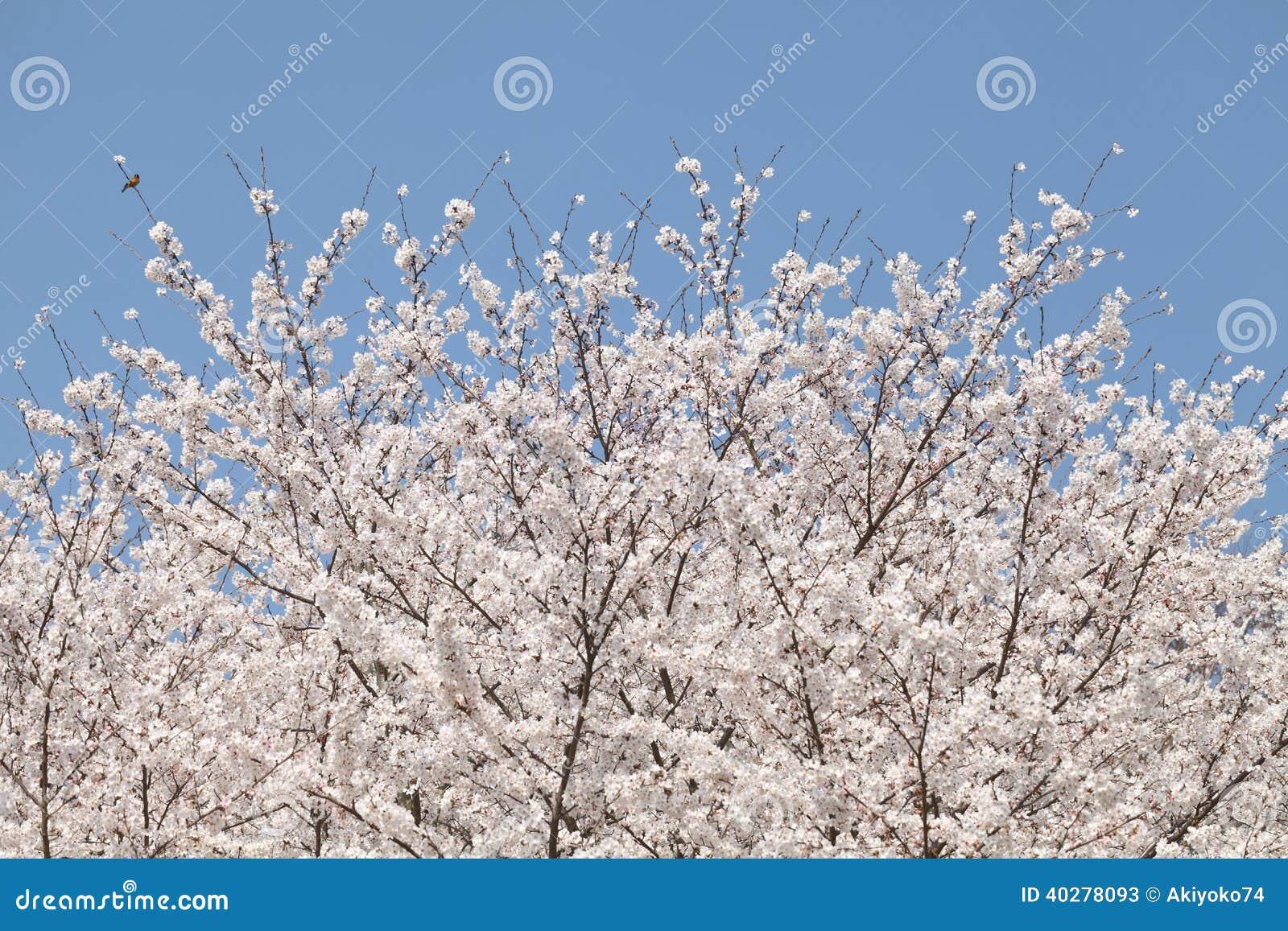 Большое дерево вишневого цвета