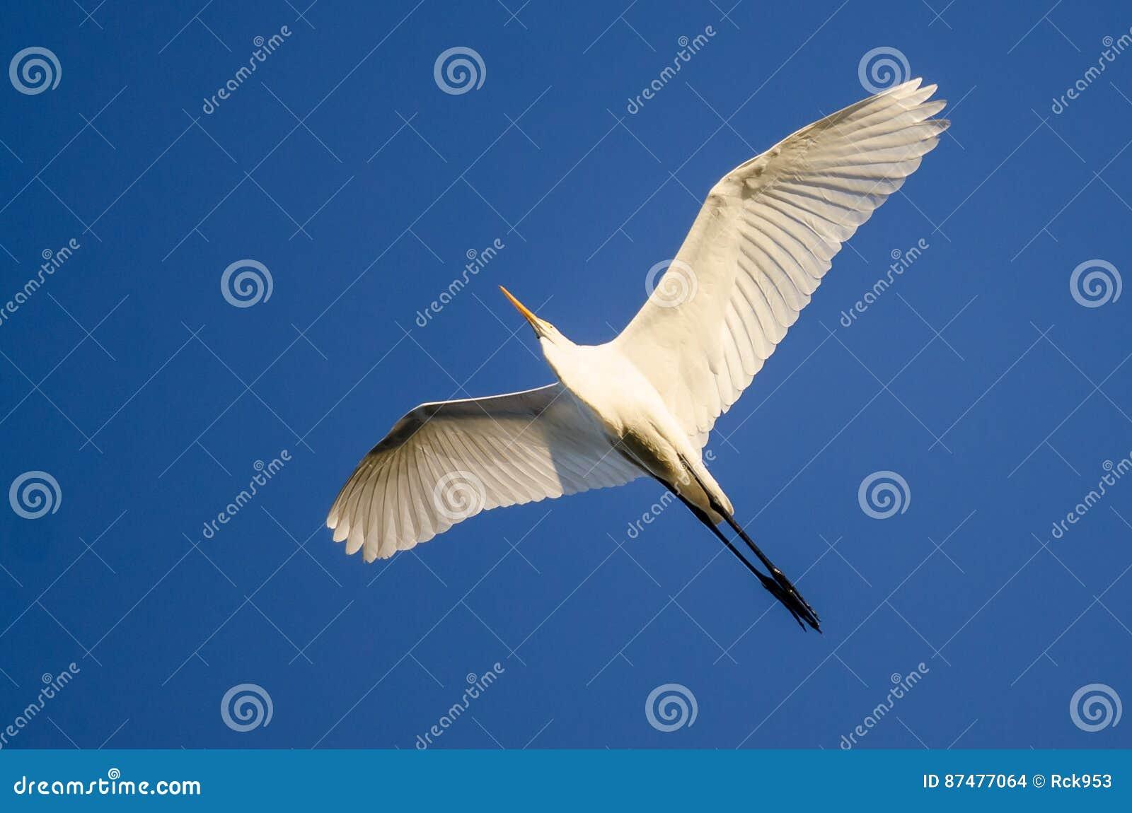 Большое летание Egret в голубом небе
