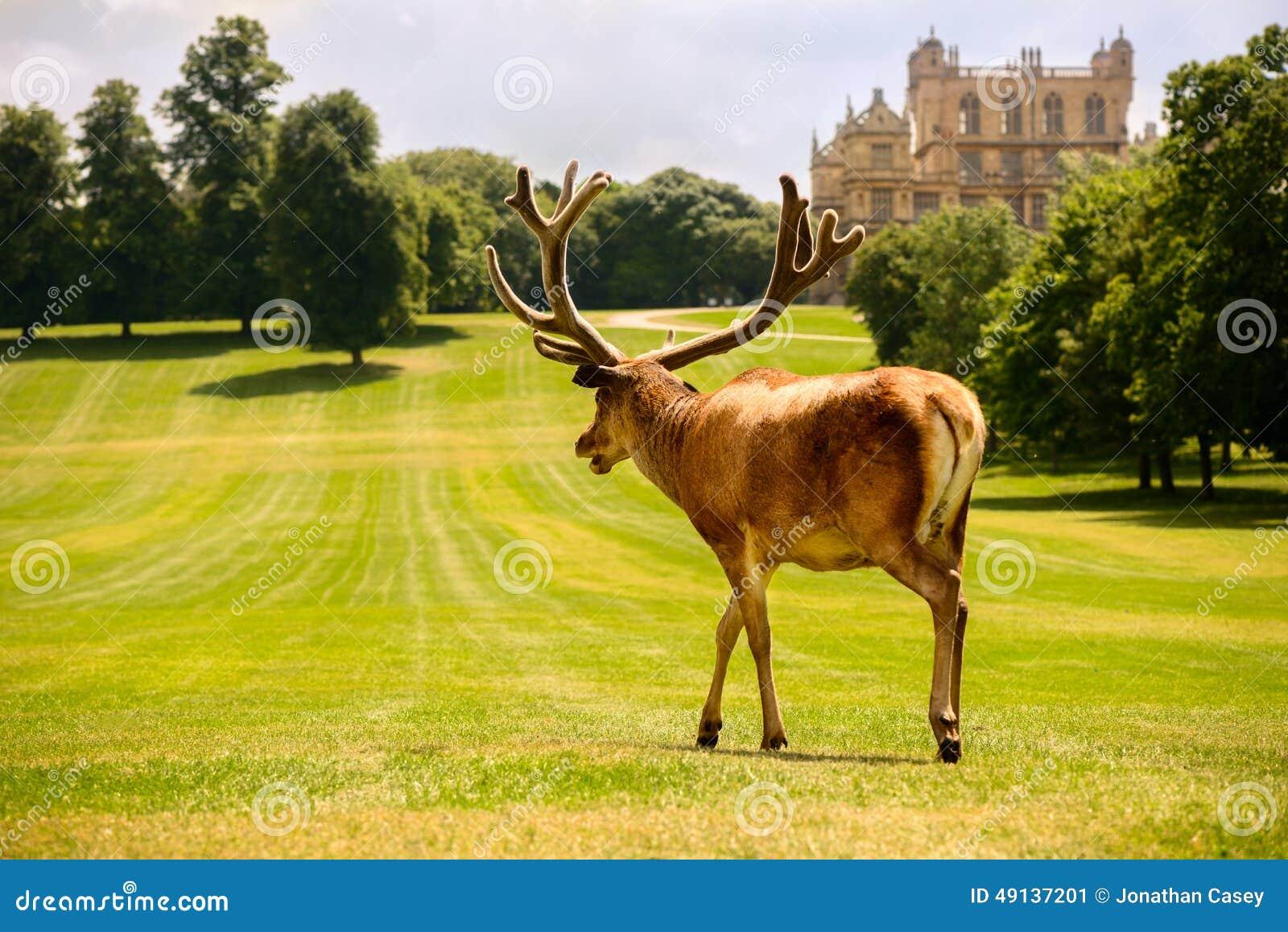 Большое рогач красных оленей на Wollaton Hall