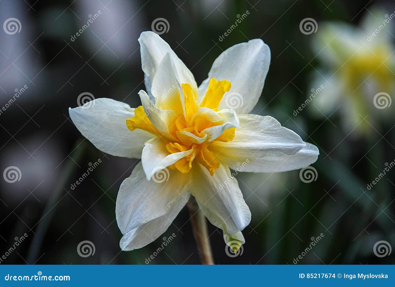 Большой белый оранжевый цветок daffodil
