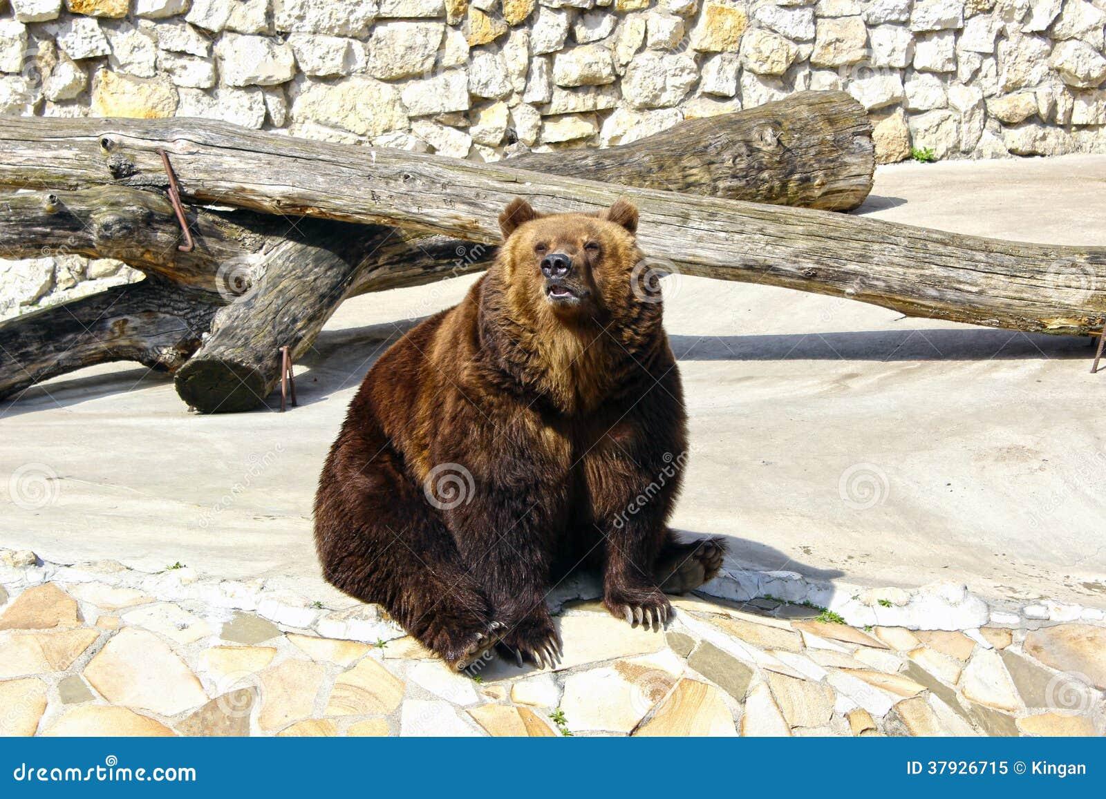 Большой бурый медведь в зоопарке Москвы