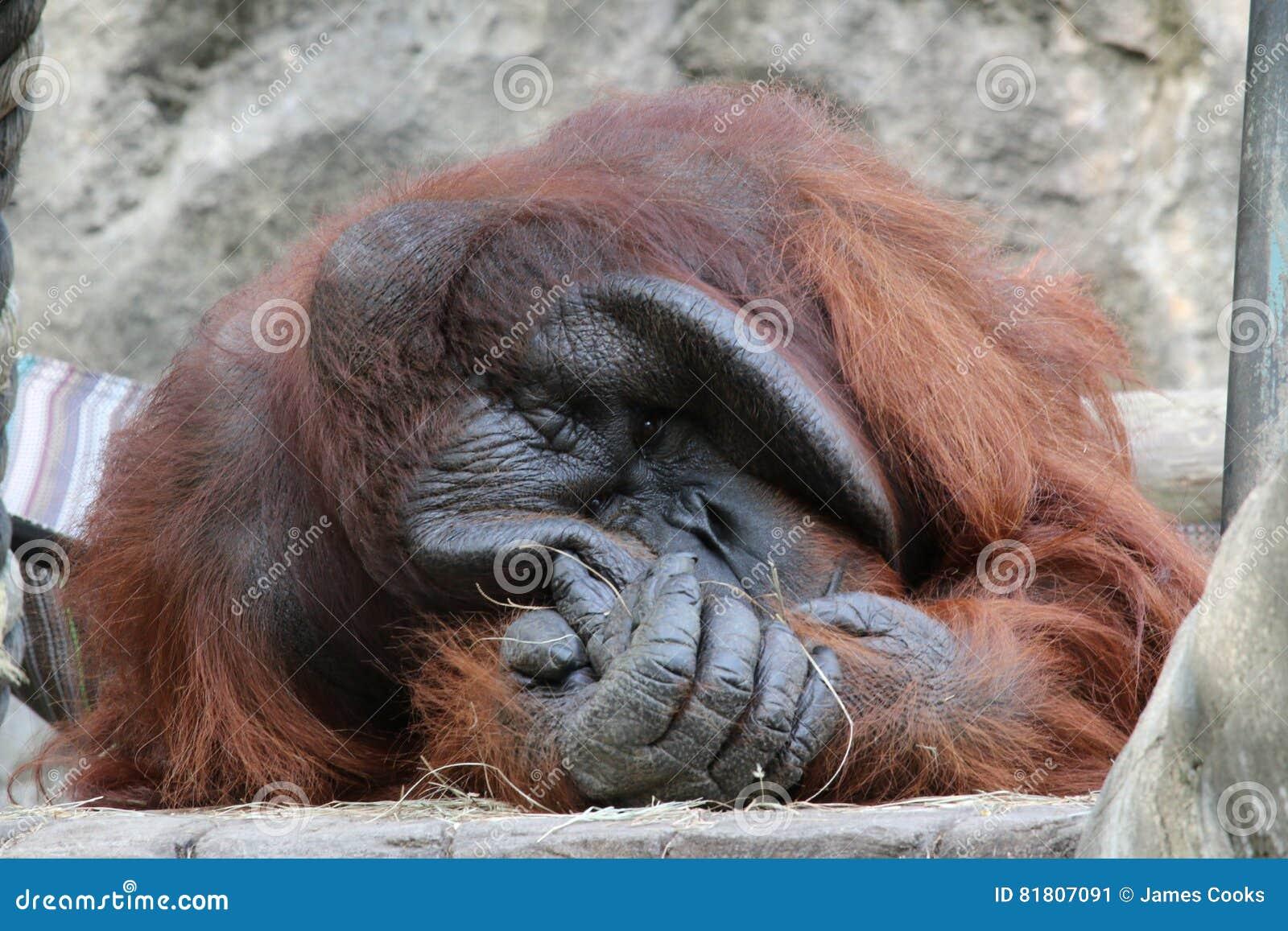 Большой мужской орангутан