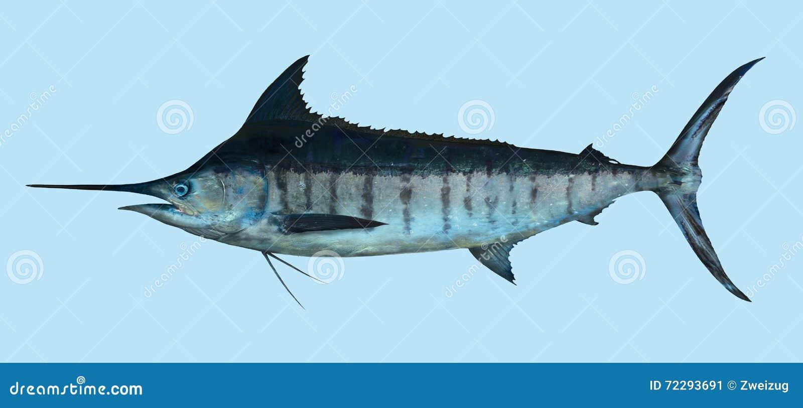 Download Большой портрет рыбной ловли голубого Марлина Стоковое Изображение - изображение насчитывающей океан, марлин: 72293691