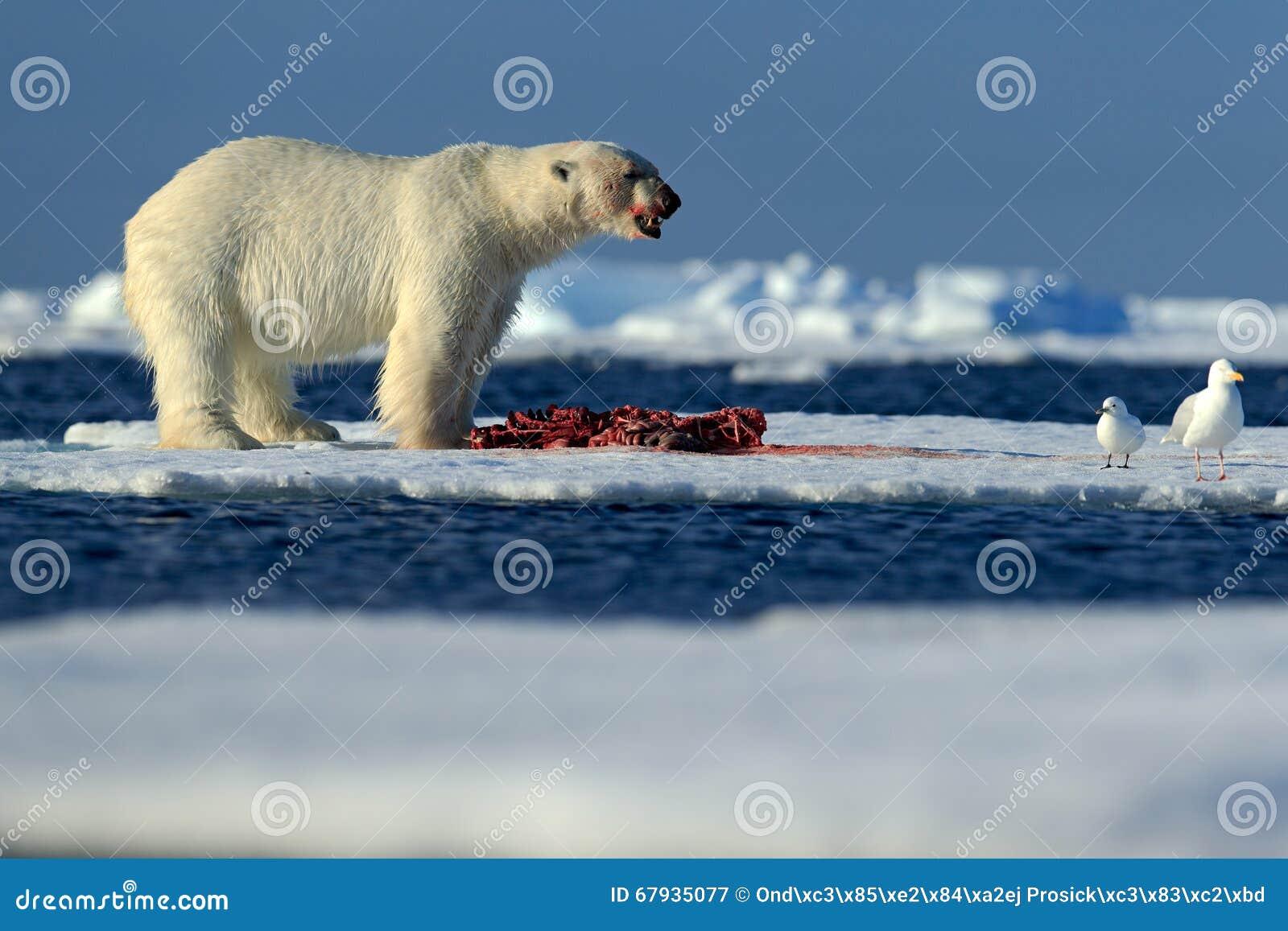 Большой полярный медведь на льде смещения с уплотнением убийства снега подавая, скелетом и кровью, Свальбардом, Норвегией