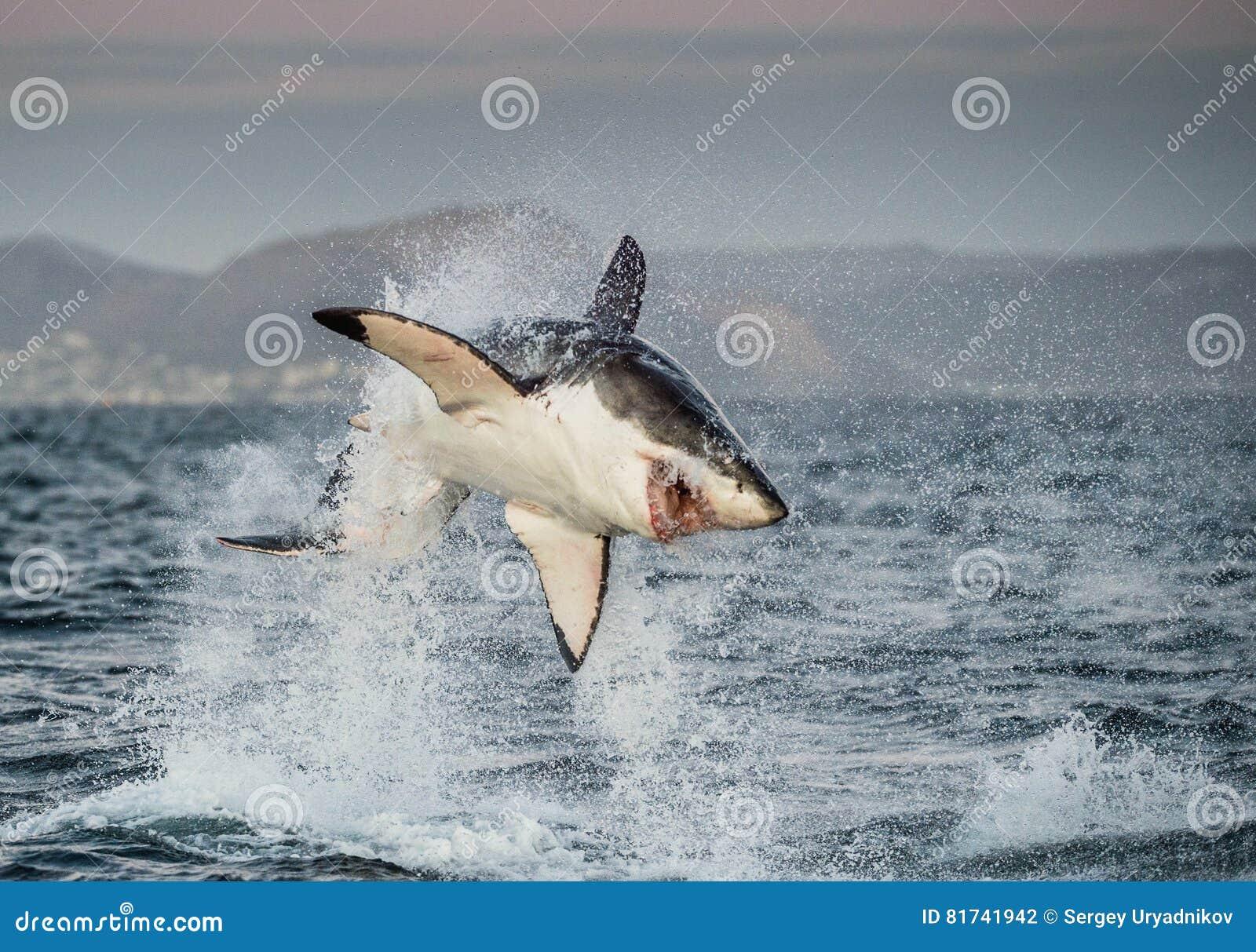 Большой пробивать брешь carcharias Carcharodon белой акулы