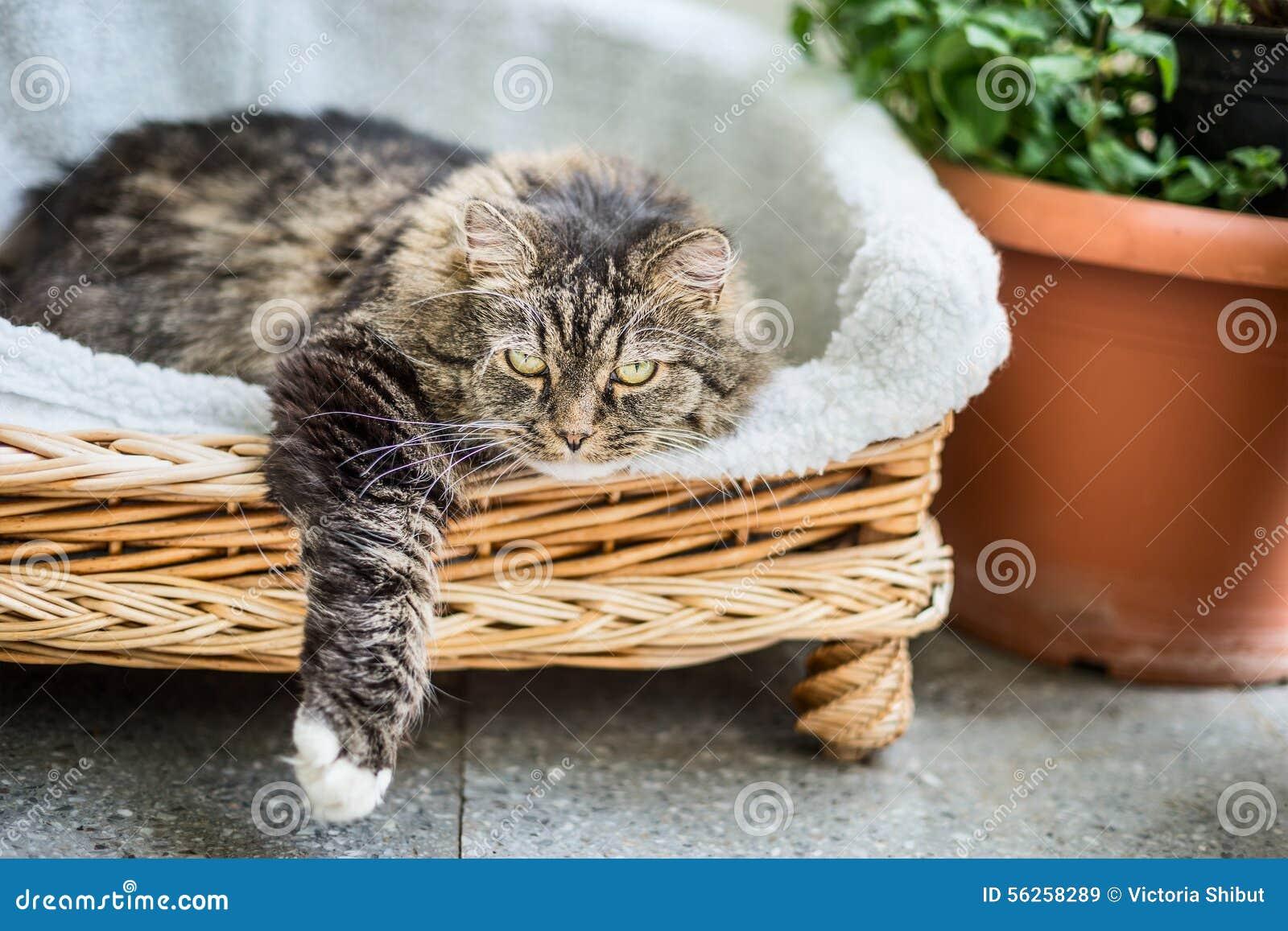 Большой пушистый кот лежа в плетеном кресле софы фаэтона на террасе балкона или сада