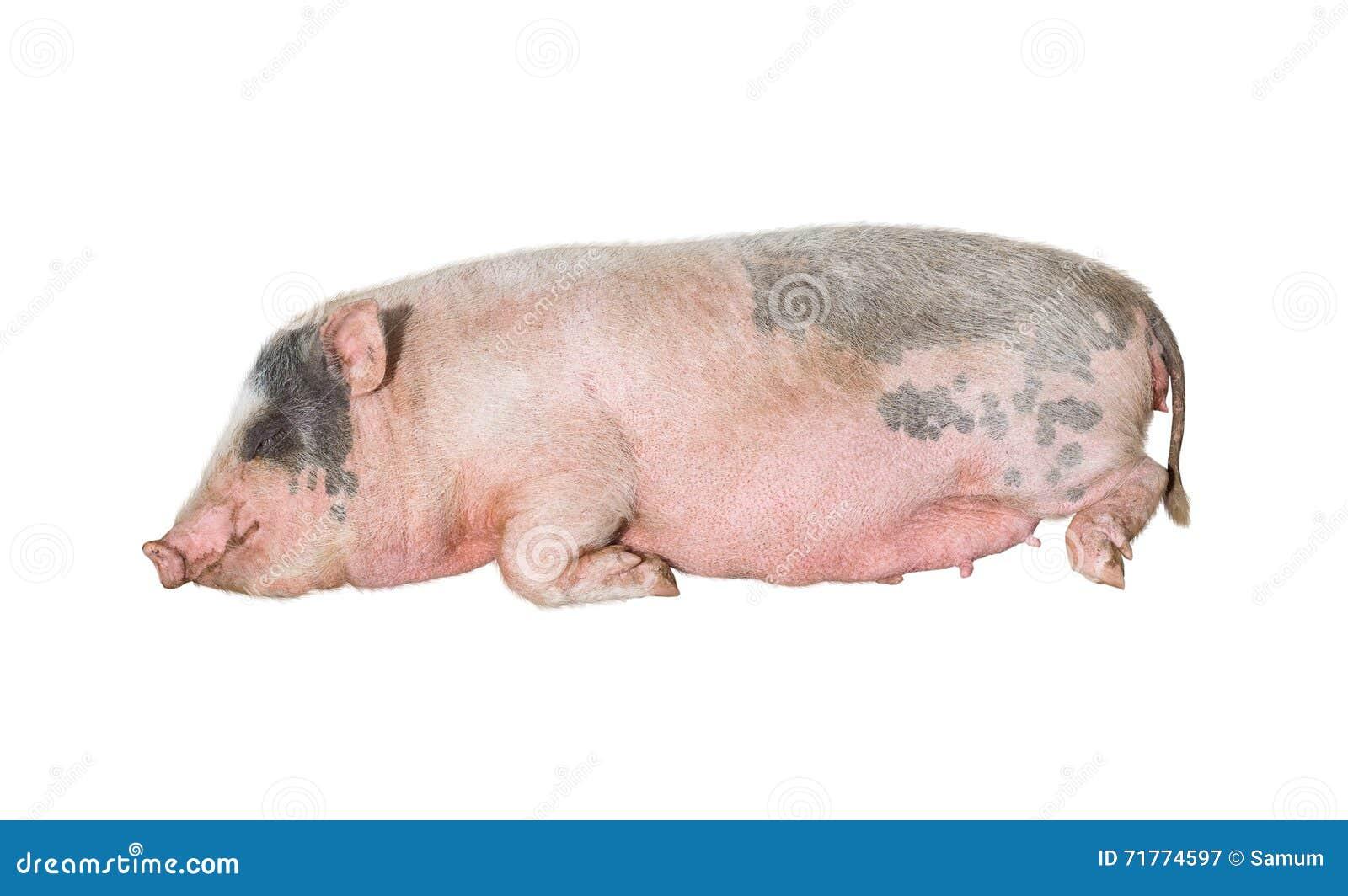 Большой розовый спать свиньи