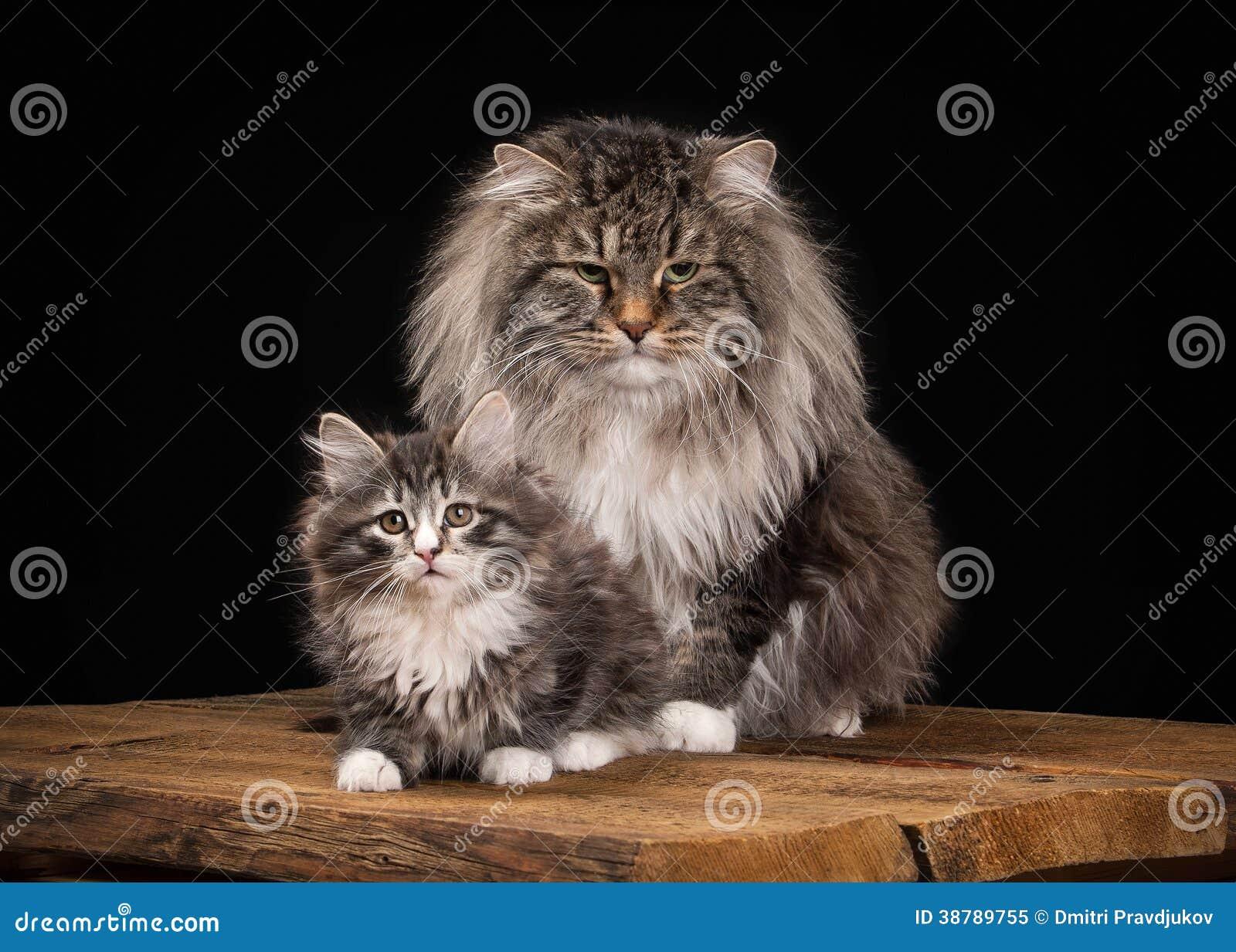 большой сибирский кот