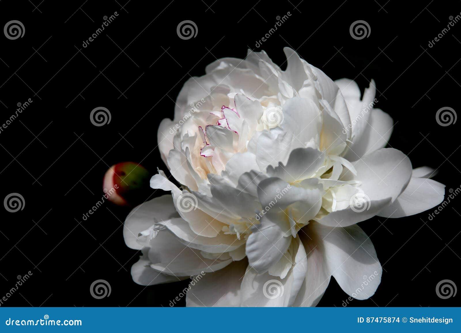 Большой цветок магнолии