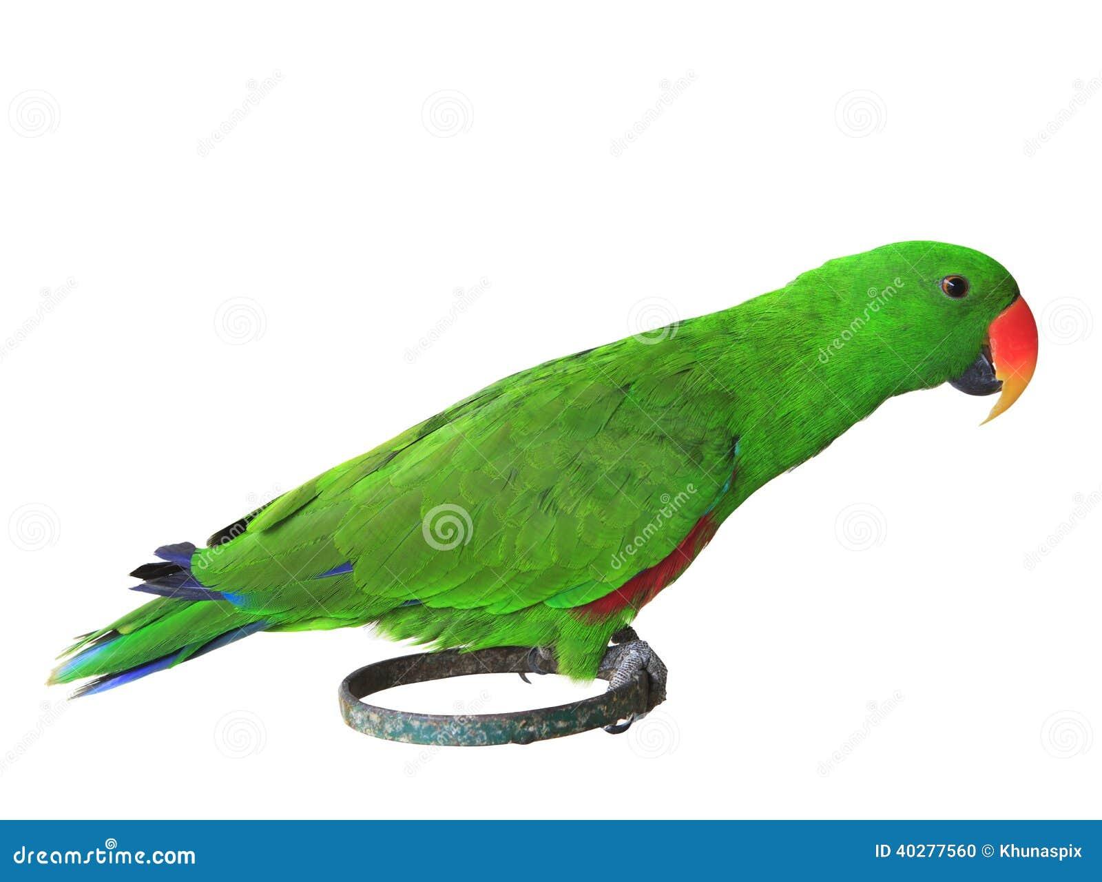 Больш-представленный счет зеленый зеленый цвет попугая parrots садиться на насест на isola стойки