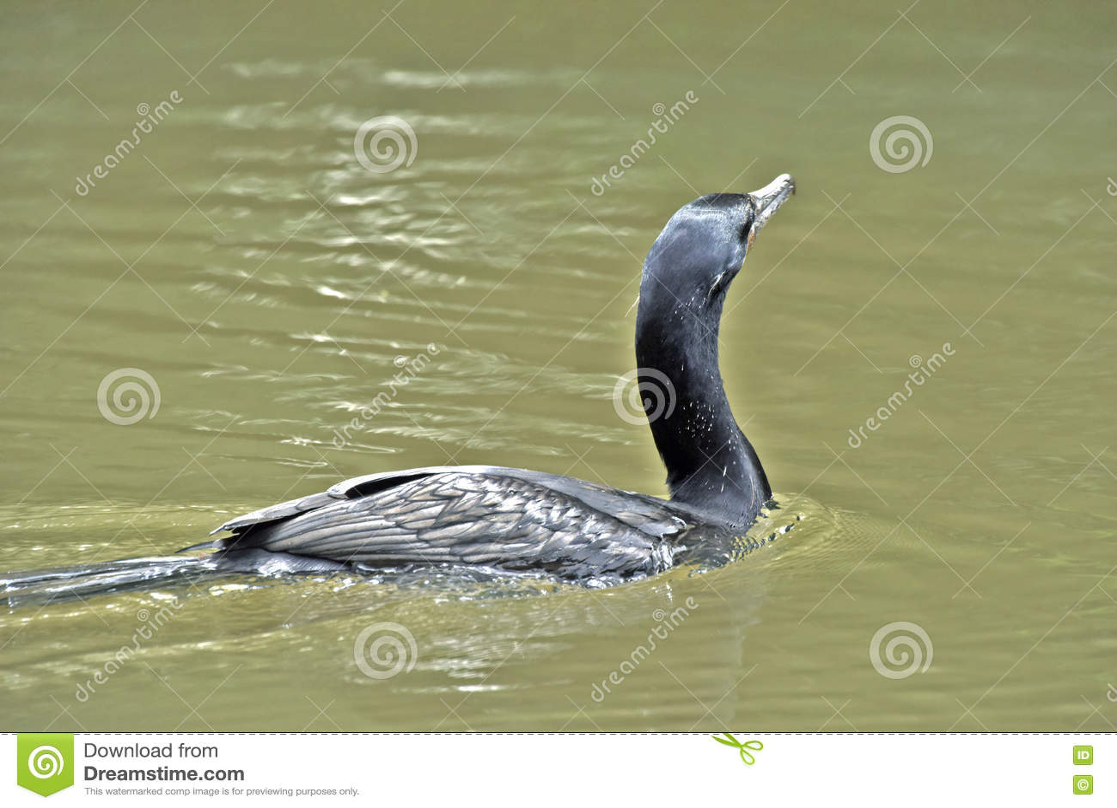Бразильский баклан, птица очень общая в бразильских озерах