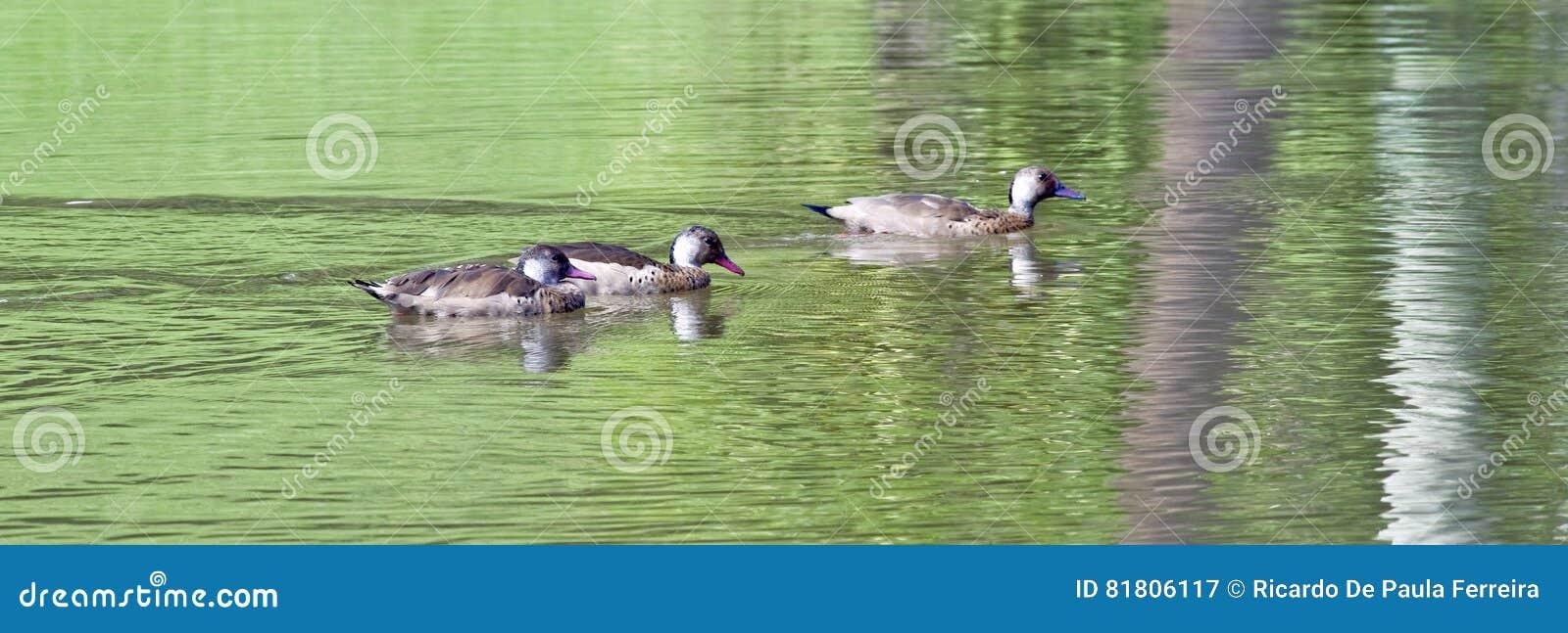 Бразильское заплывание teal в зеленоватом озере