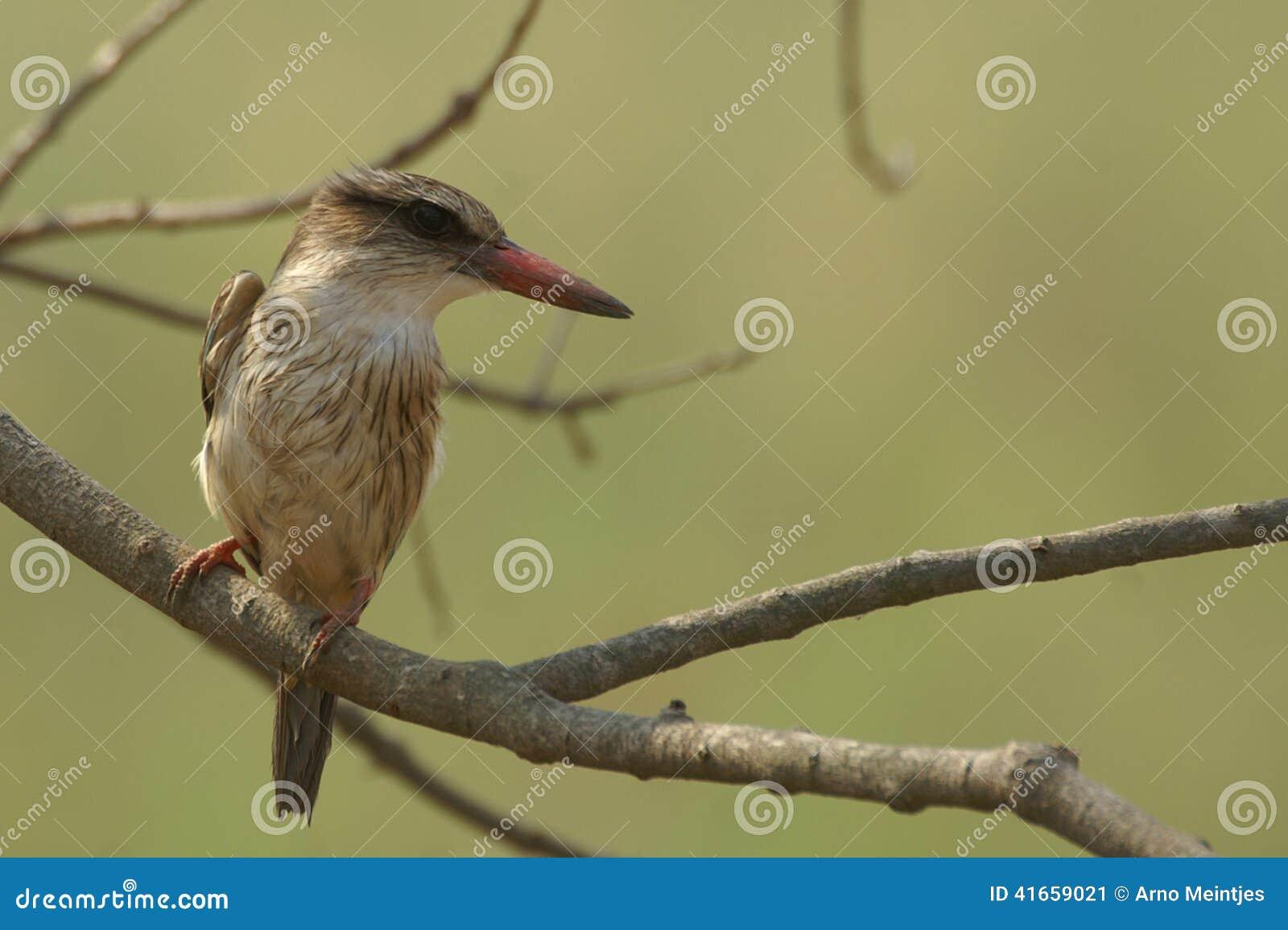 Брайн-головый Kingfisher рая (danae Tanysiptera)
