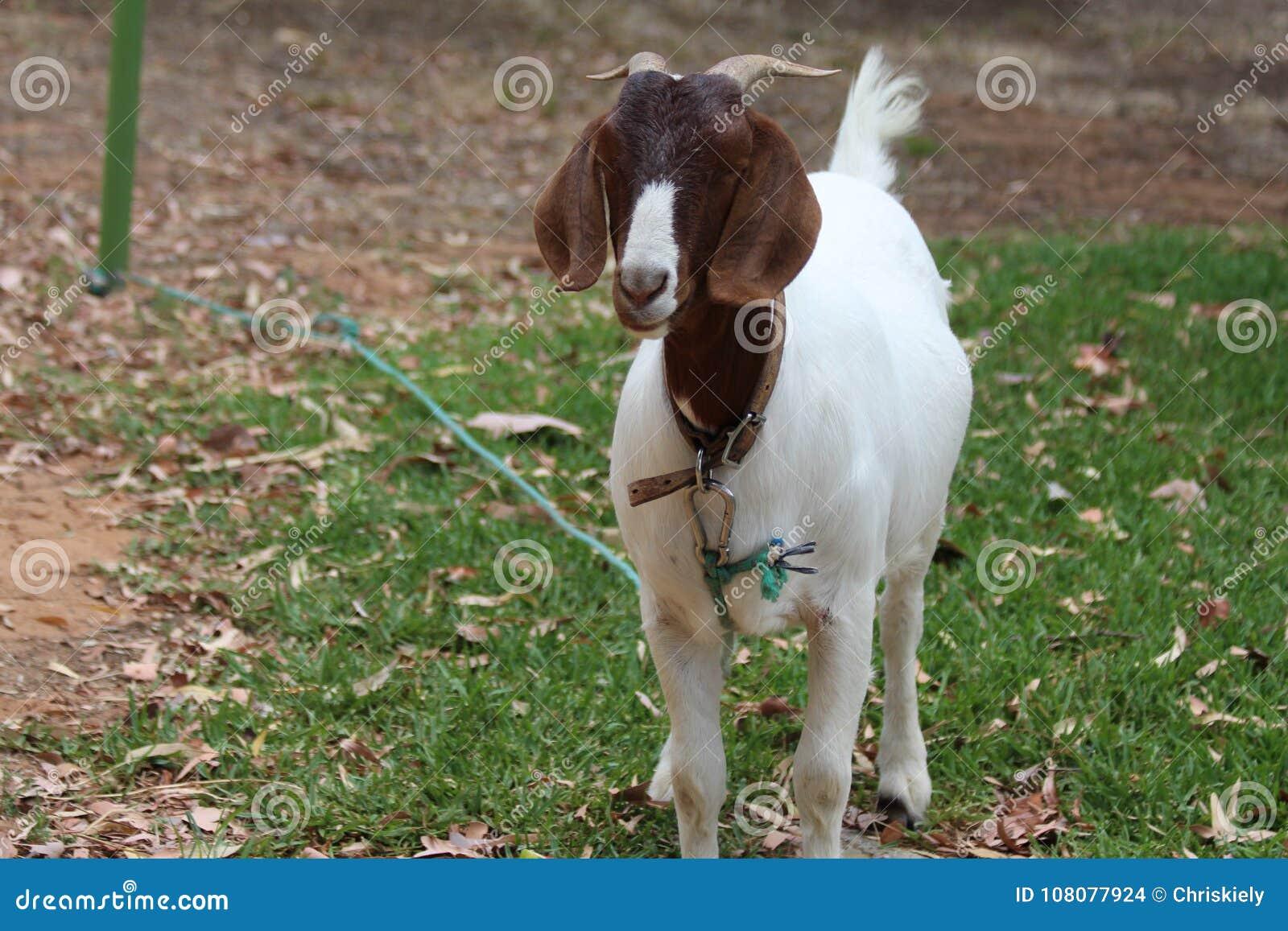 Брайн и белая коза любимчика