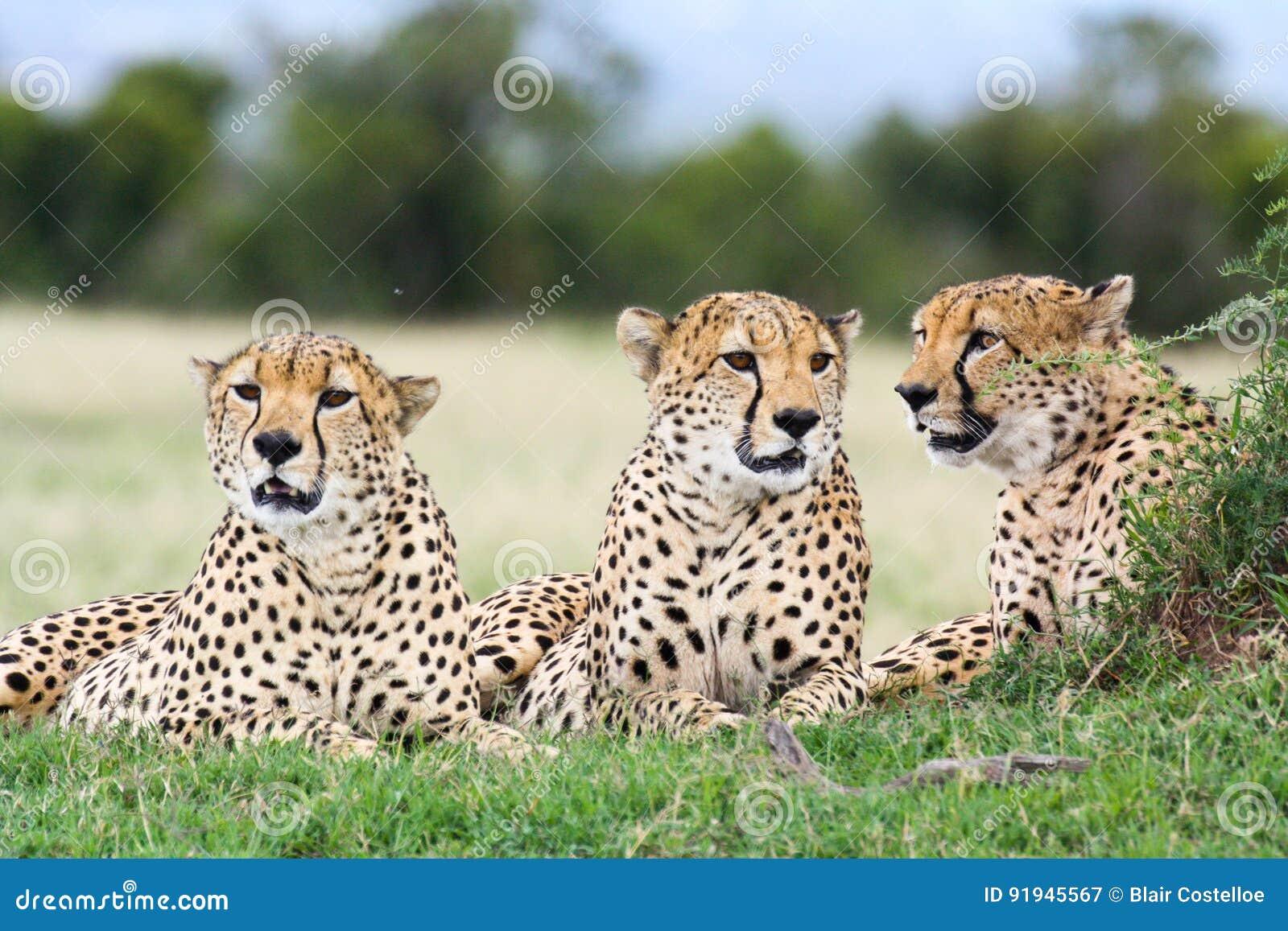 3 брать гепарда