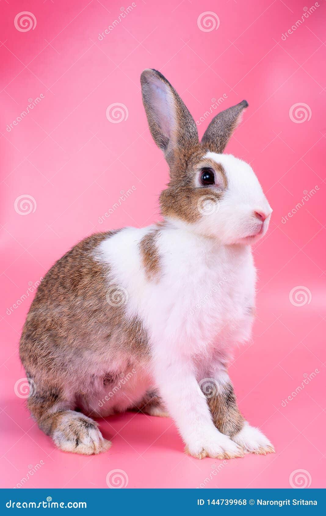 Браун и белый кролик зайчика с длинными стойками ушей перед розовой пр