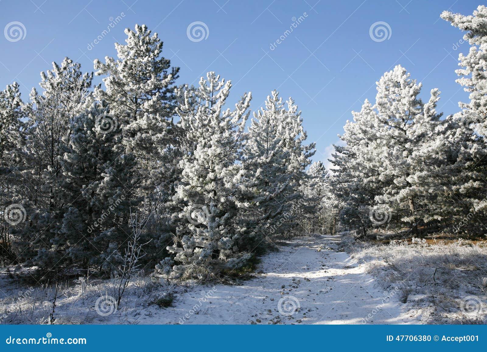 Бросаться след соснового леса зимы