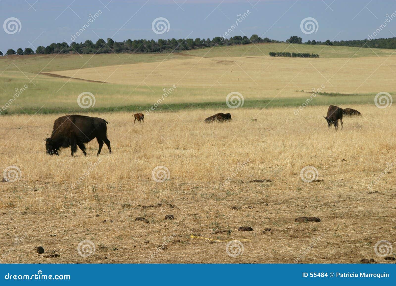 буйволы пася